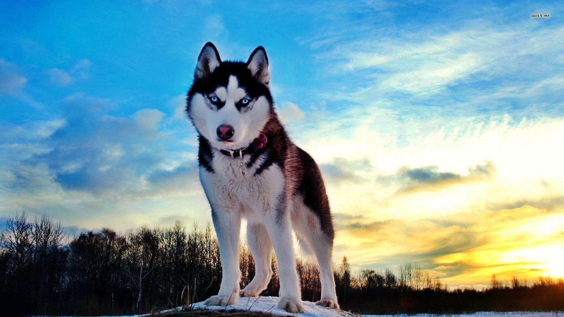 siberian husky wallpapers wallpaper cave. Black Bedroom Furniture Sets. Home Design Ideas
