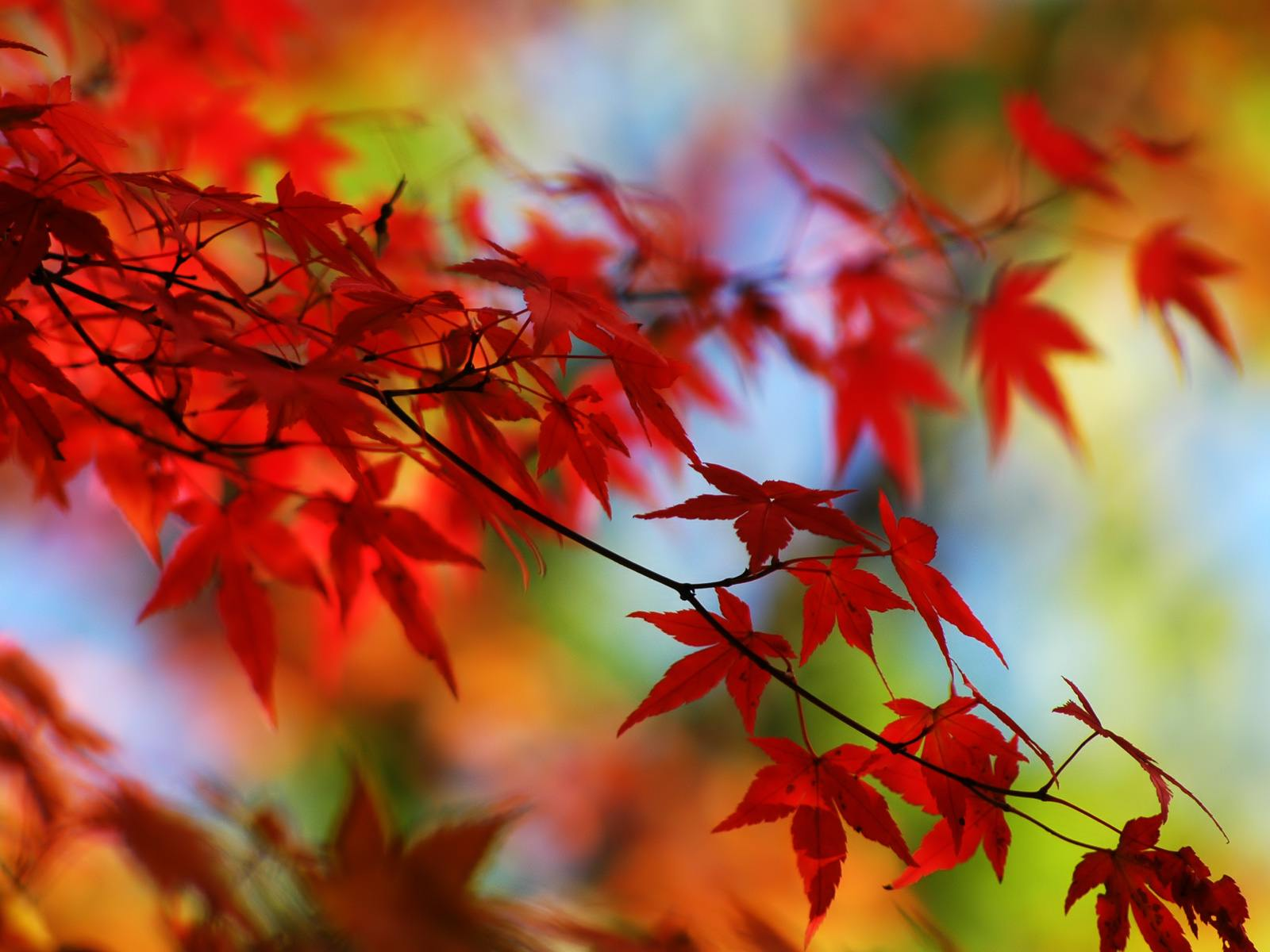 red leaf wallpapers - wallpaper cave