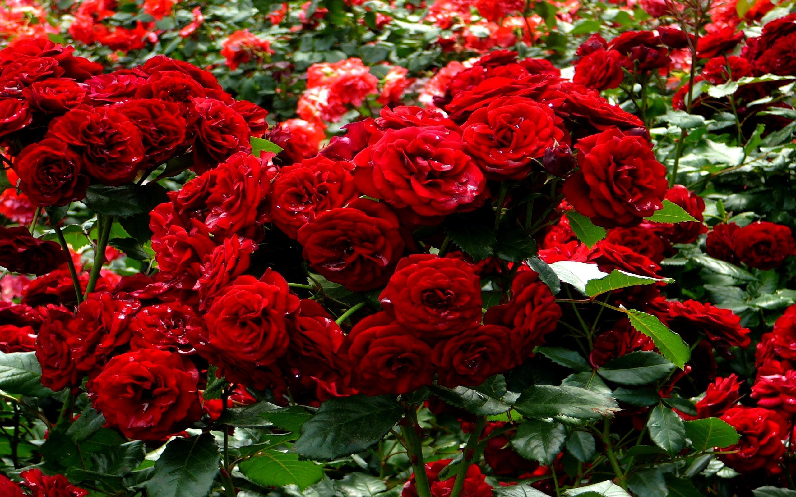 Red Roses Garden Wallpapers