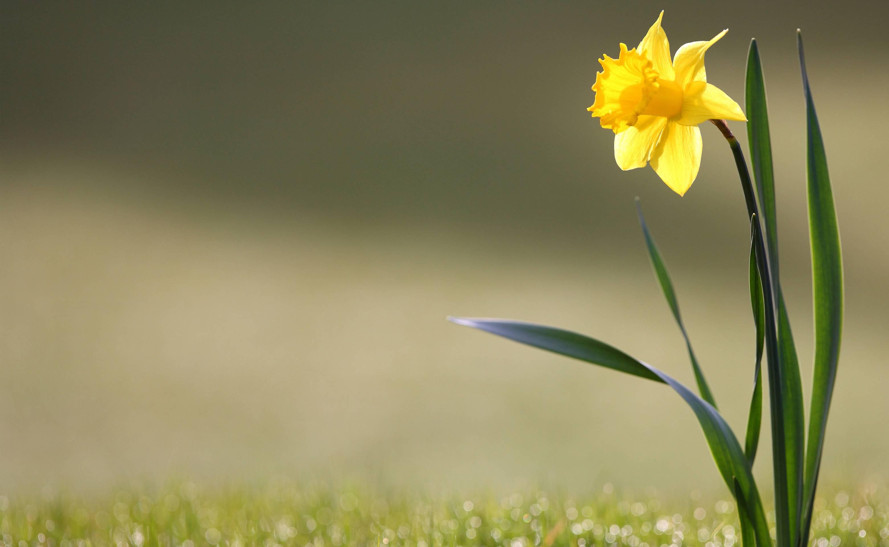 download daffodils 1920x1080 wallpaper - photo #11
