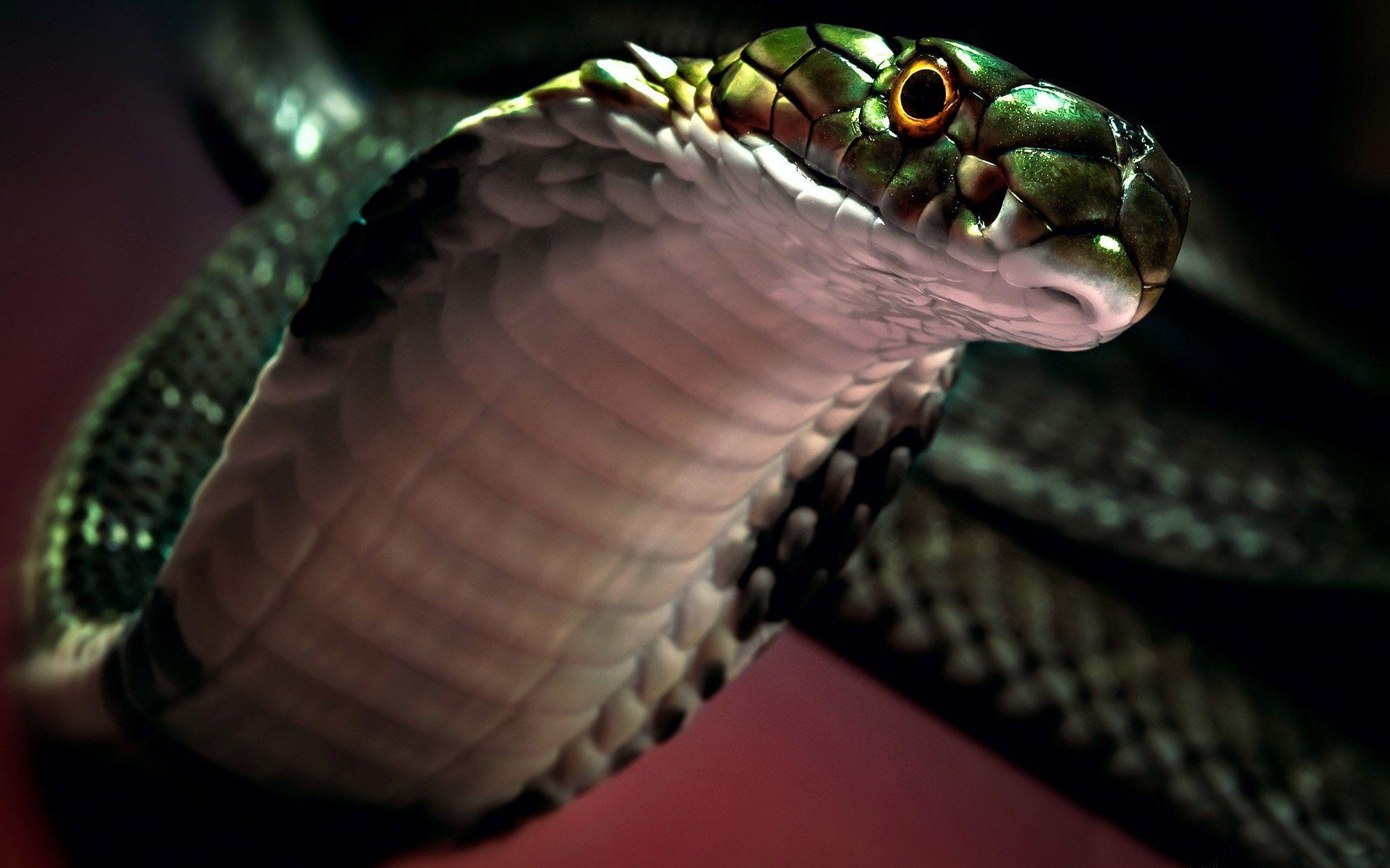 viper snake wallpapers wallpaper cave