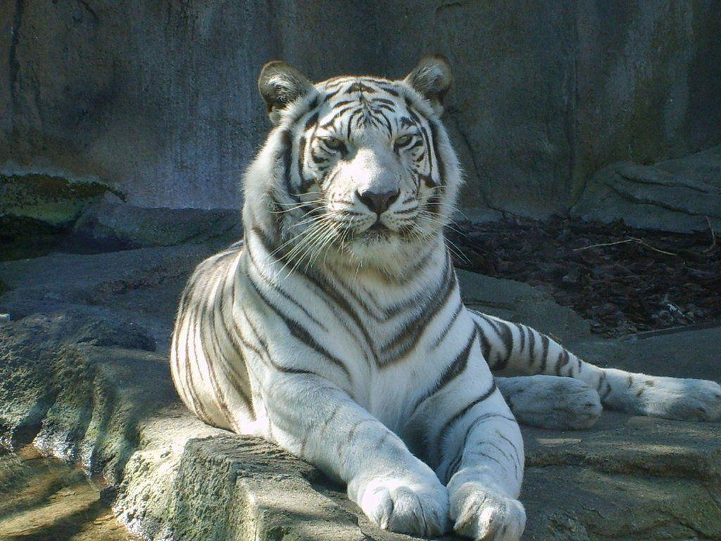 White bengal tiger wallpapers - photo#24