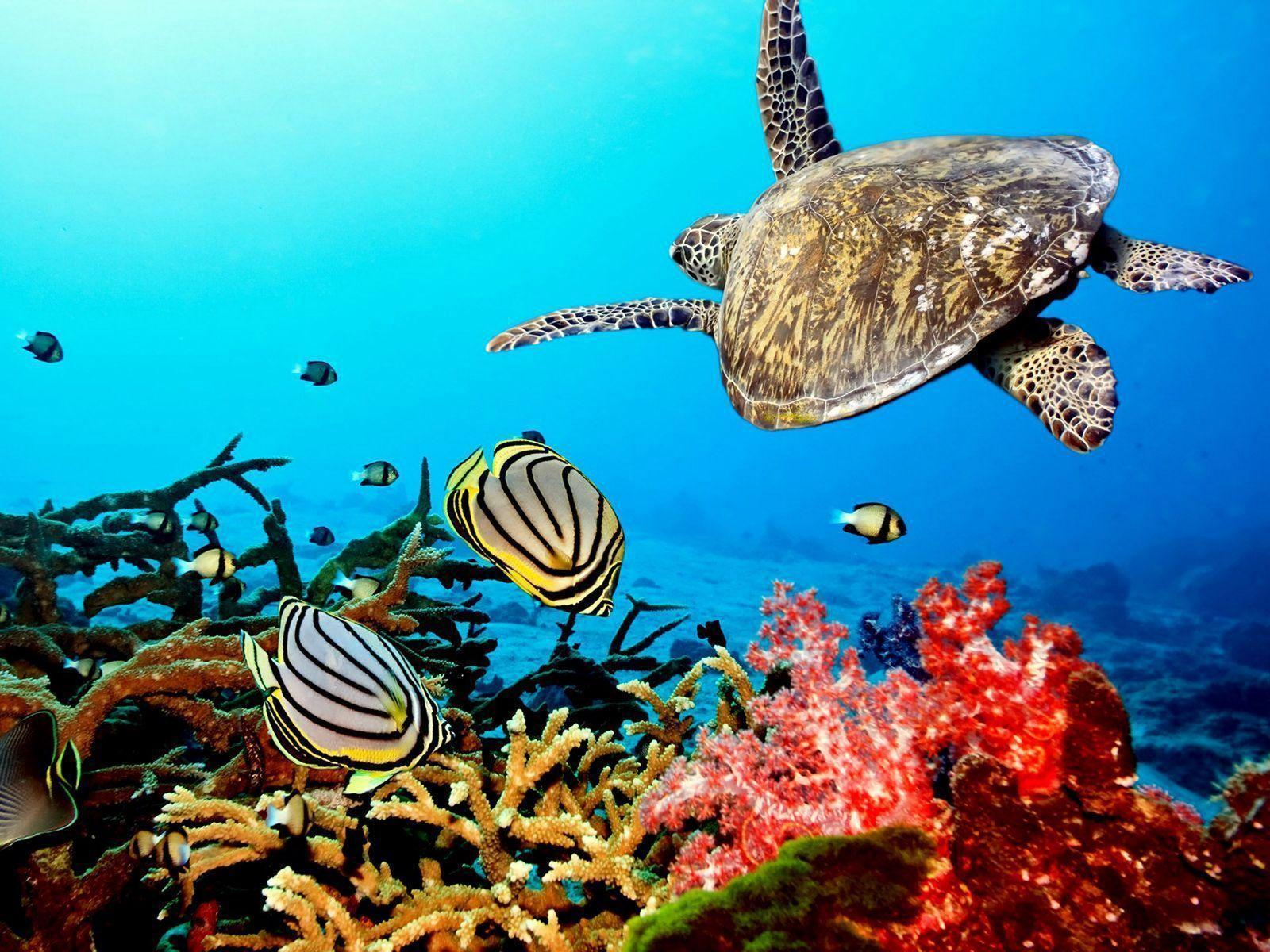 coral reef with sea turtle | HD Background Wallpaper