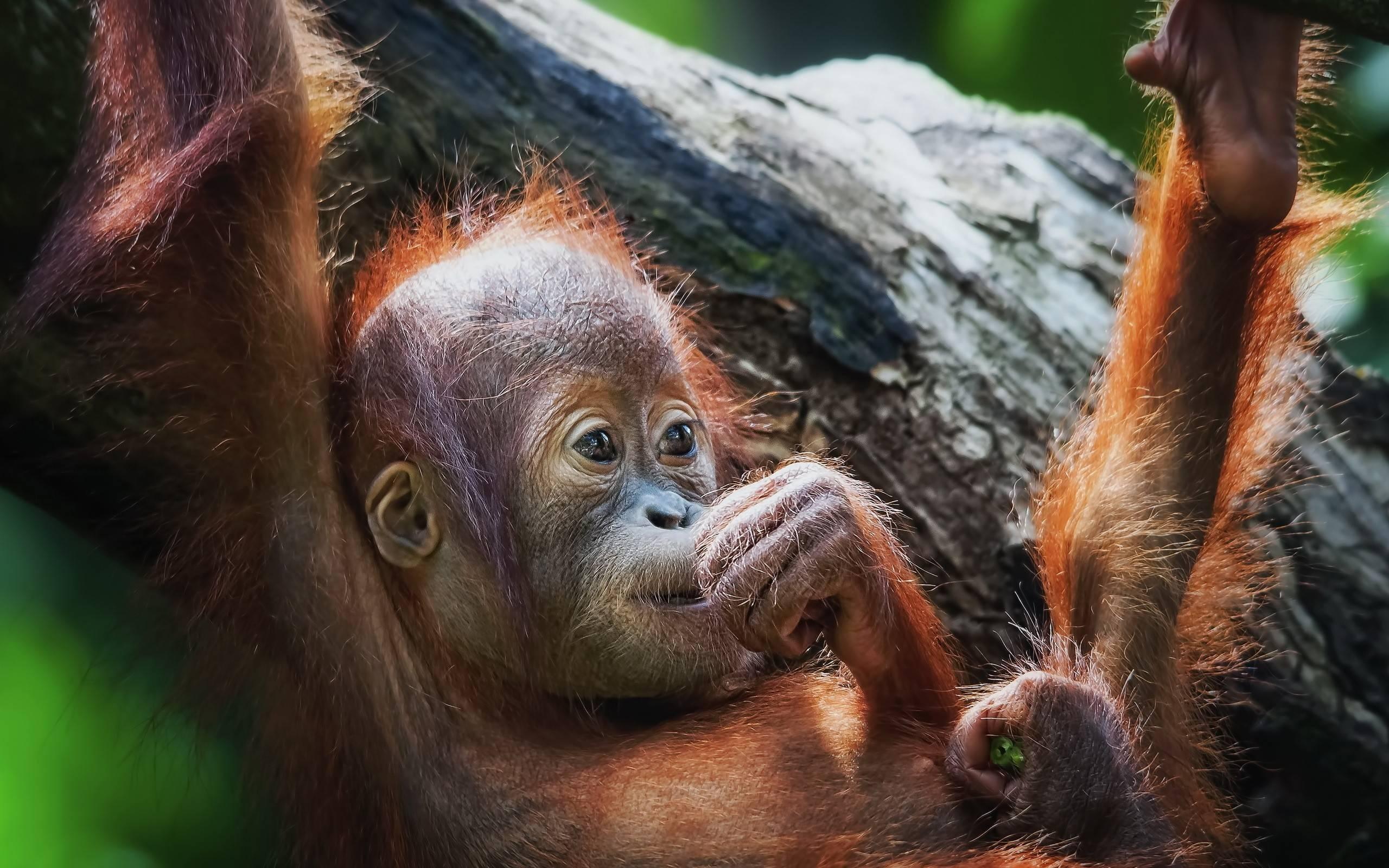 Orangutan Wallpapers - Wallpaper Cave