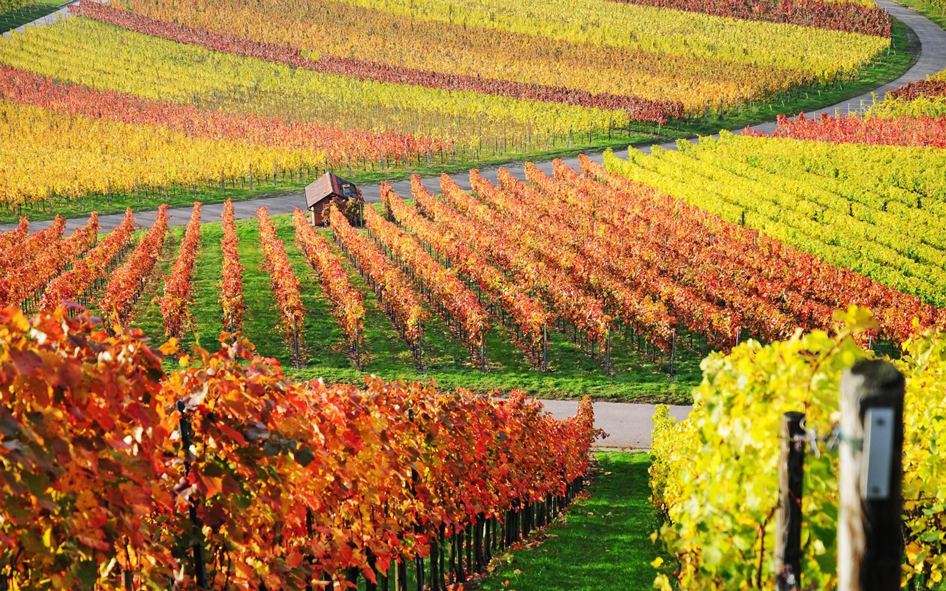 vineyard computer wallpapers desktop backgrounds 1920x1200 id 155124
