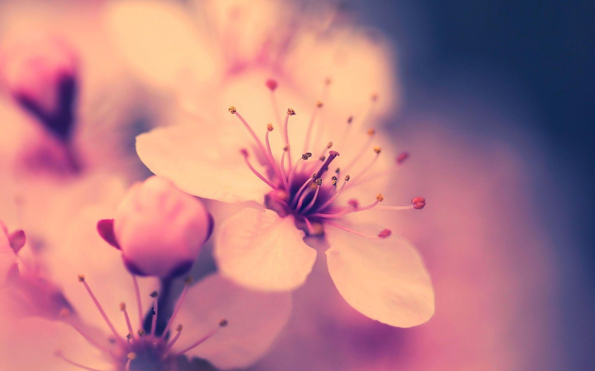 Desktop wallpaper sakura flower