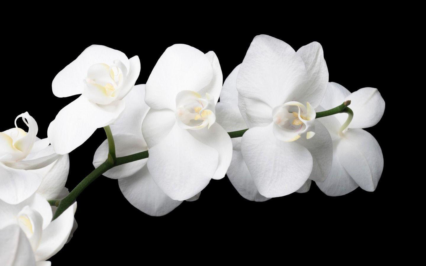 orchid wallpapers backgrounds images - photo #45