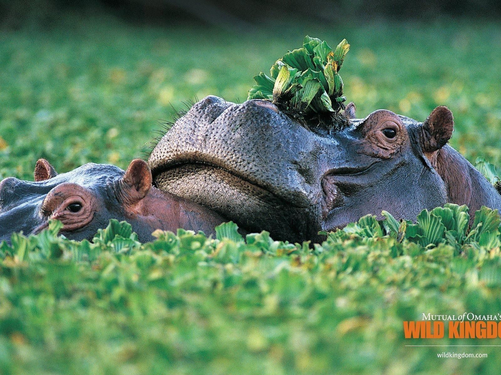 animal hippo wallpaper 1600x1200 - photo #29