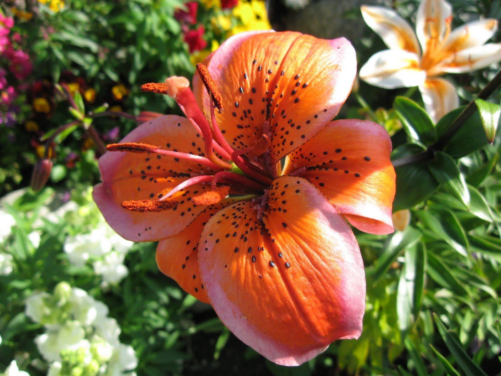 tiger lily wallpapers