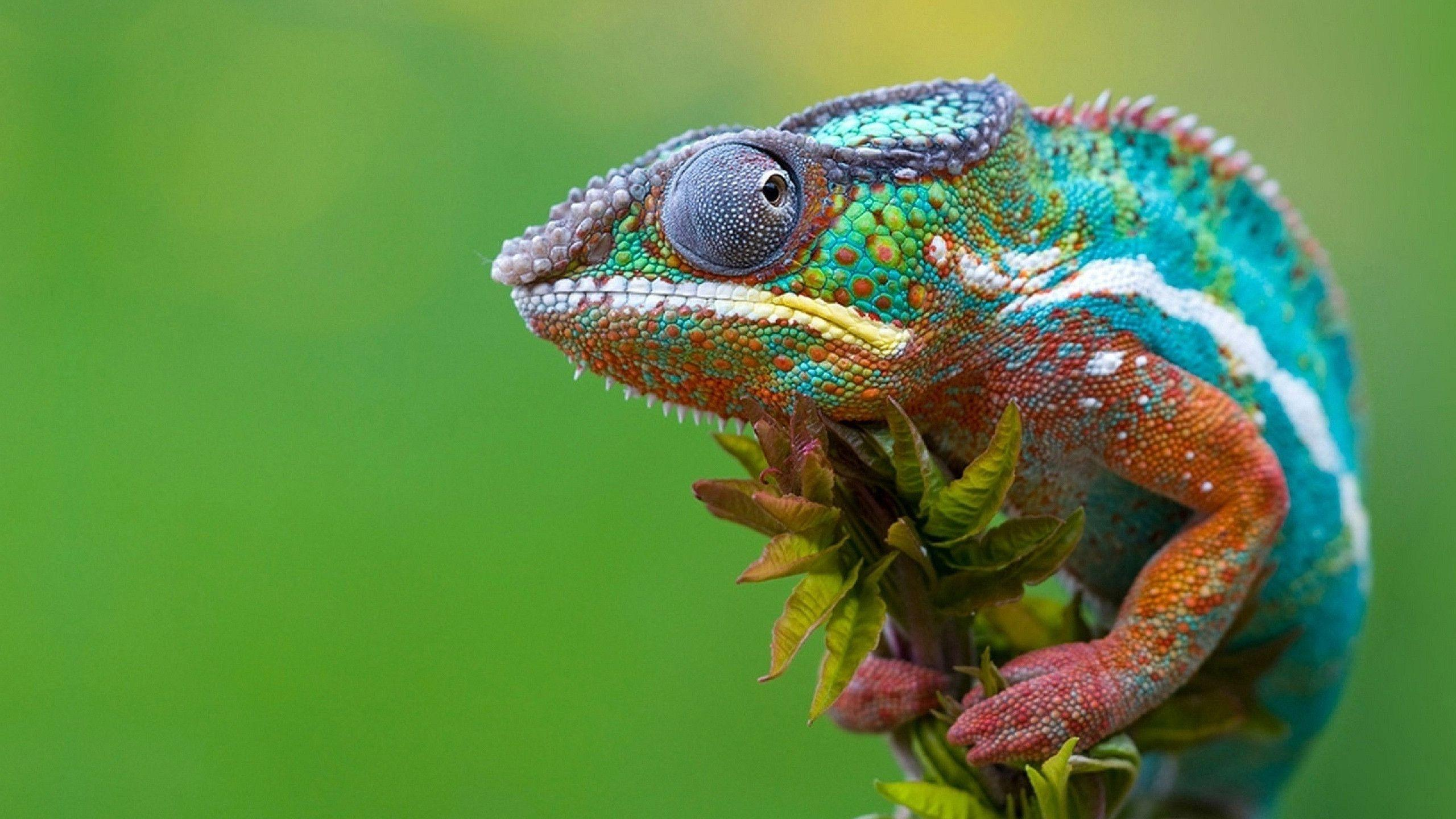 2560x1440 Colored Chameleon Wallpapers