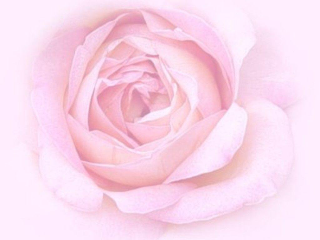 pink rose in - photo #21