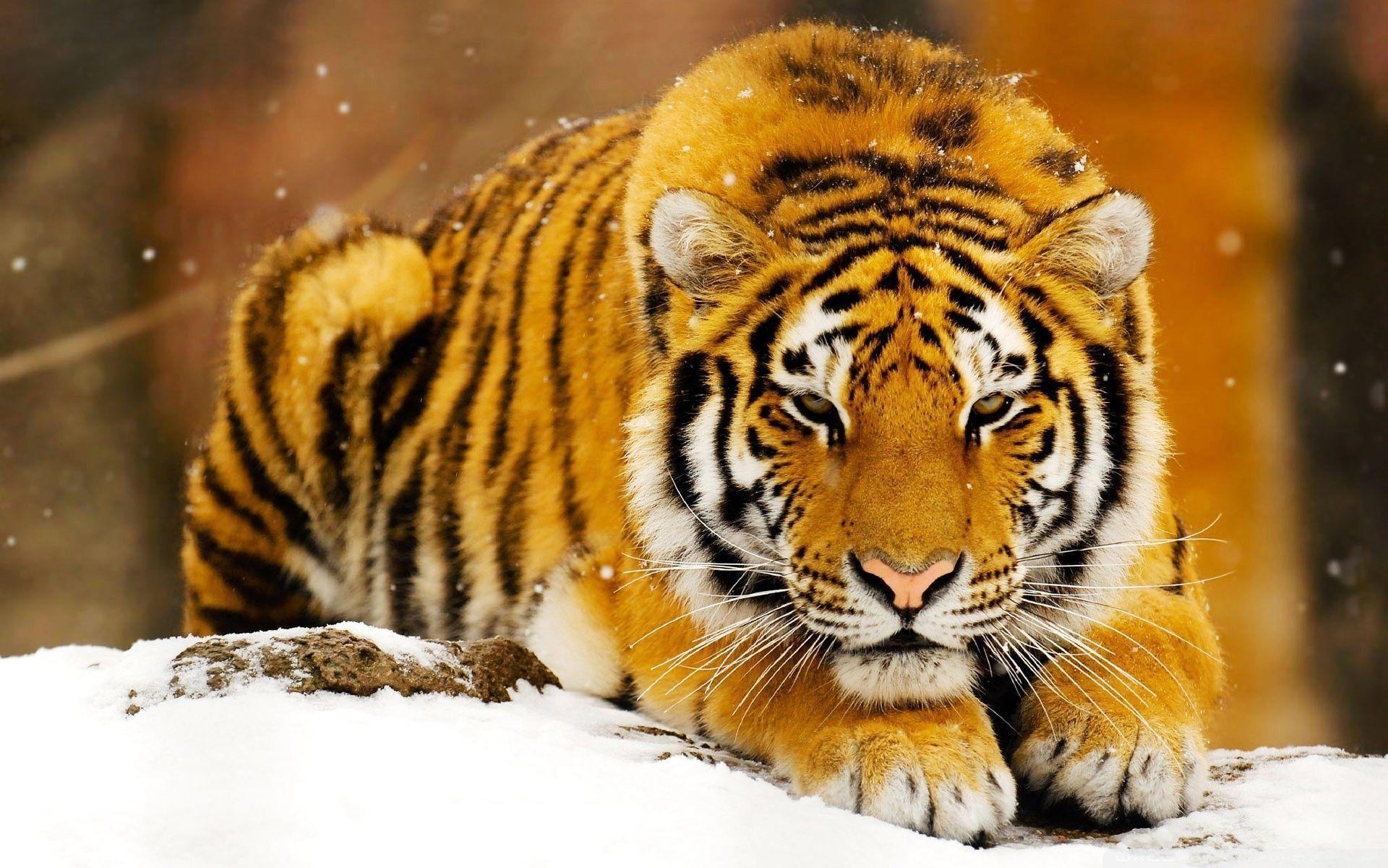 Siberian Tiger Wallpapers - Full HD wallpaper search