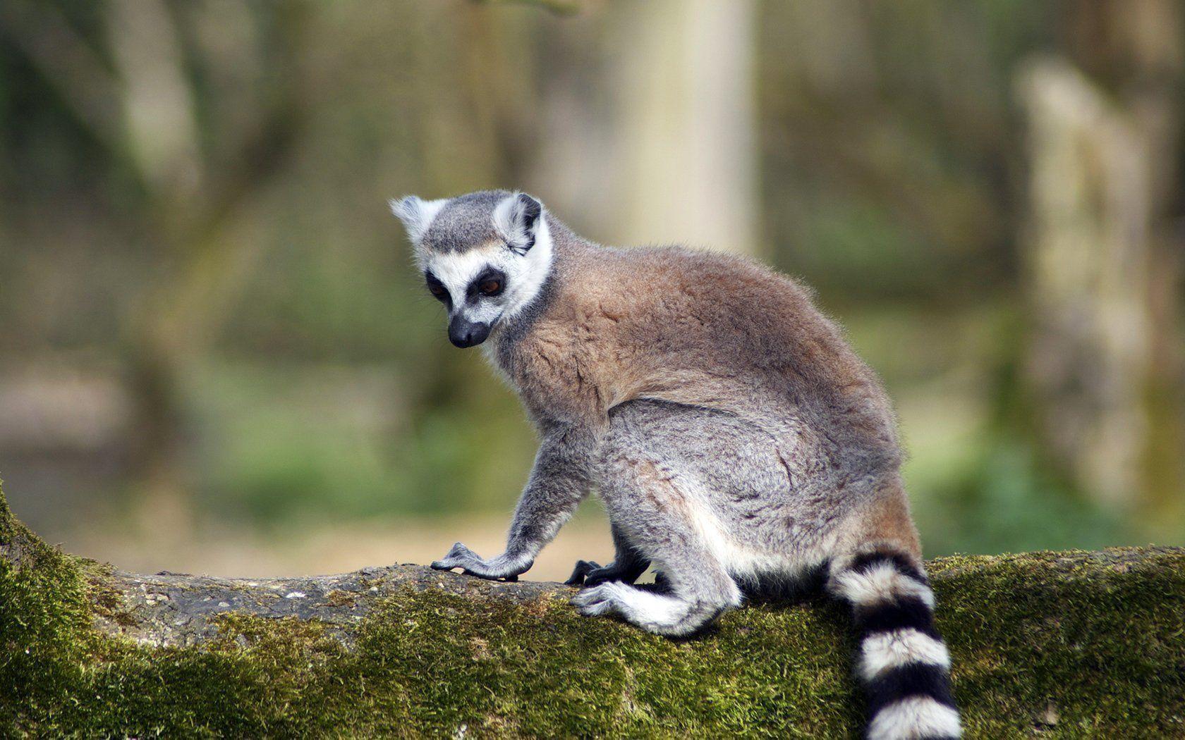 download wallpaper 3840x2160 lemur - photo #20