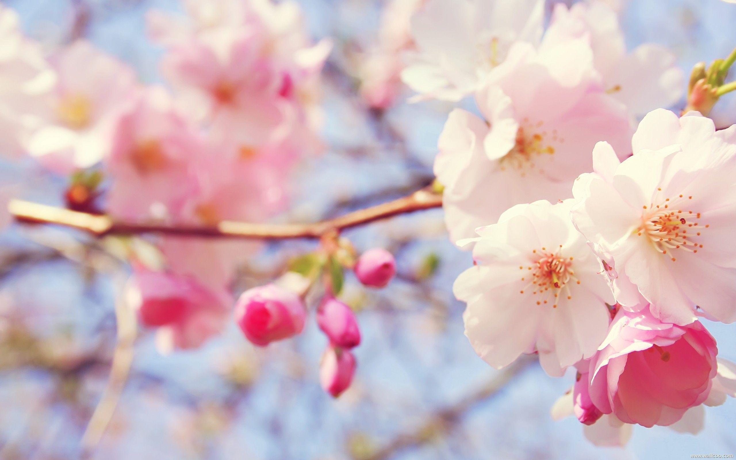 Light Pink Flower Wallpapers