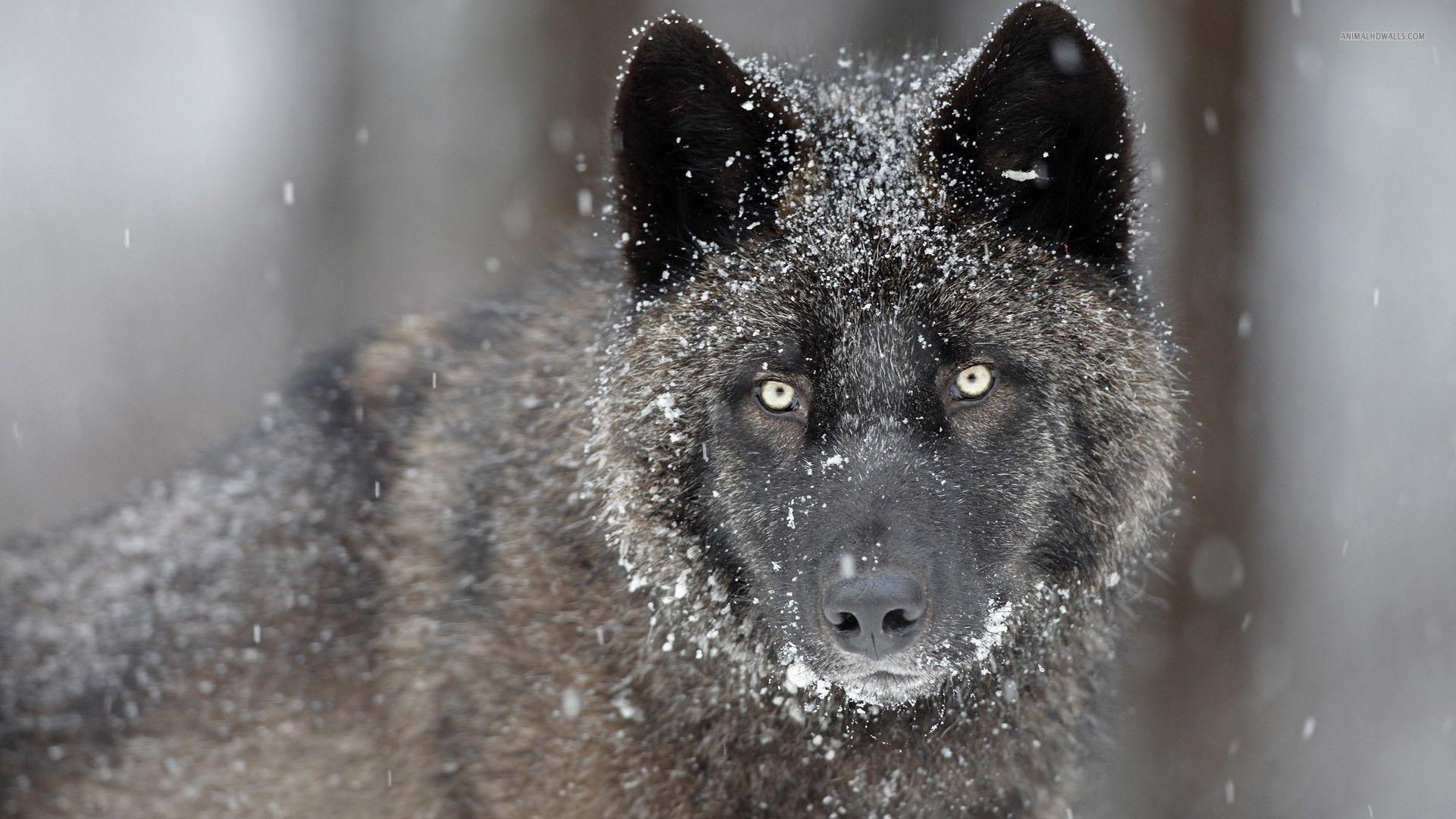Black Wolf in Snow Wallpapers - HD Wallpapers Inn
