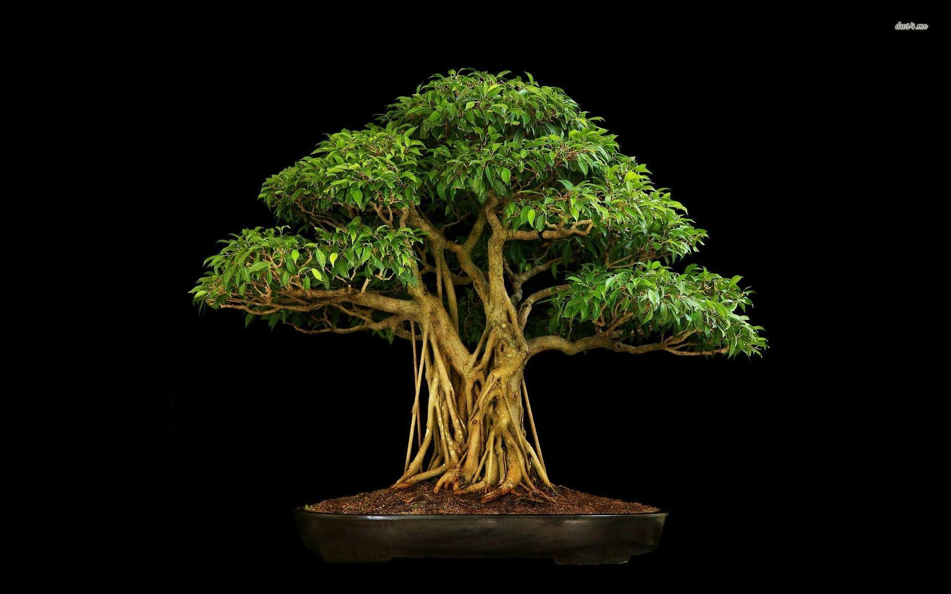 Bonsai wallpaper - 976656