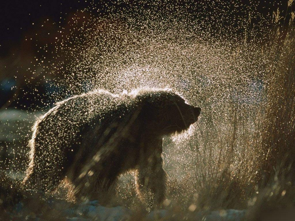 wallpaper title grizzly bear - photo #12