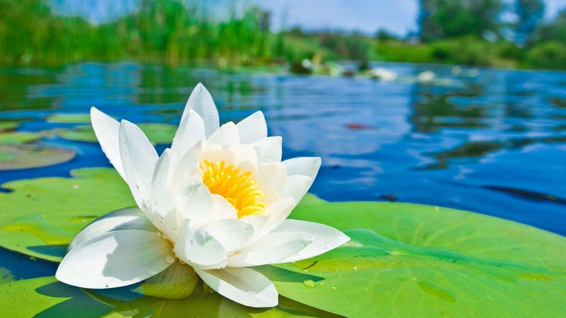 Water Lotus Flower HD Desktop Wallpaper Free - Free Download ...