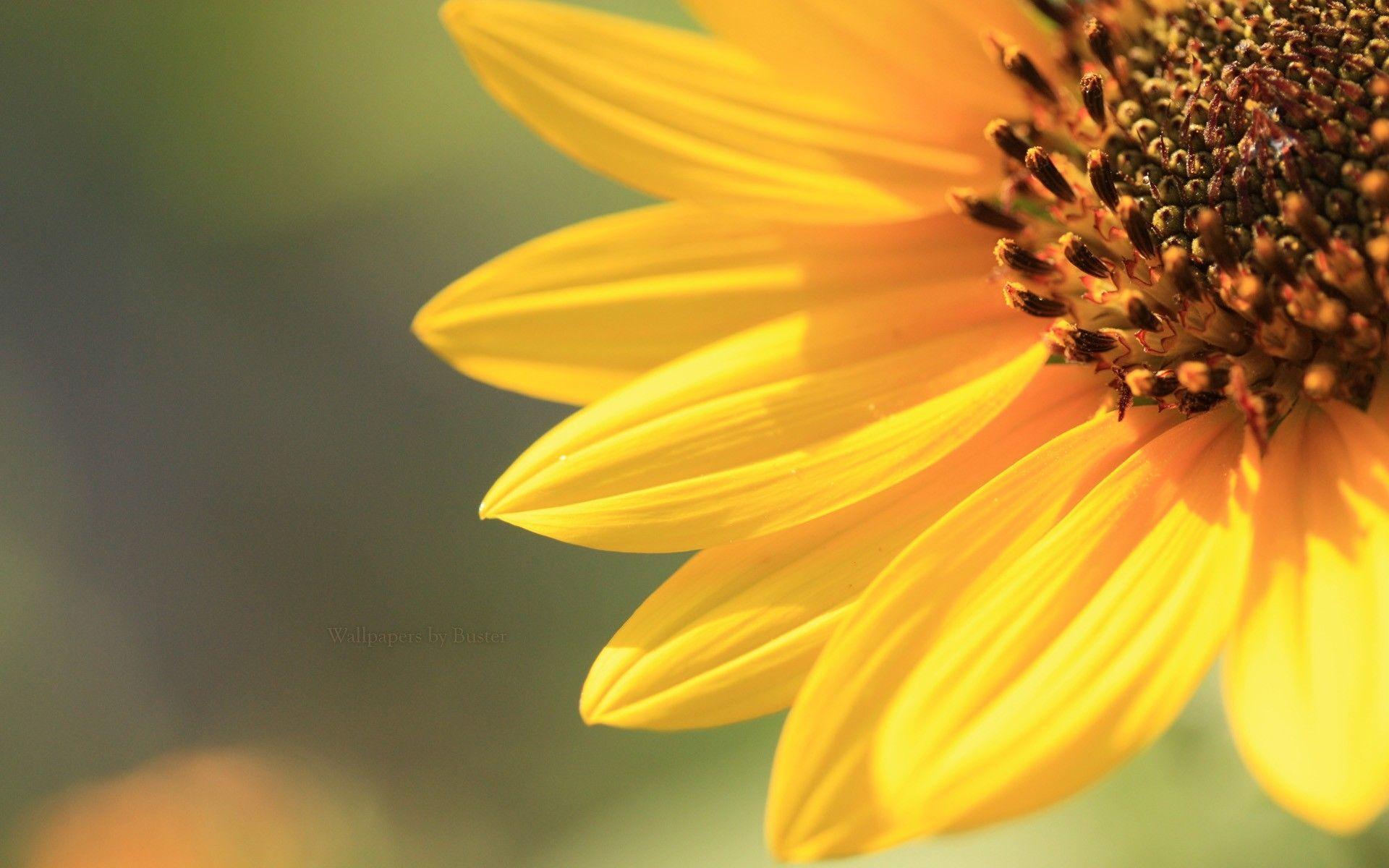 sunflower tumblr wallpaper full - photo #40
