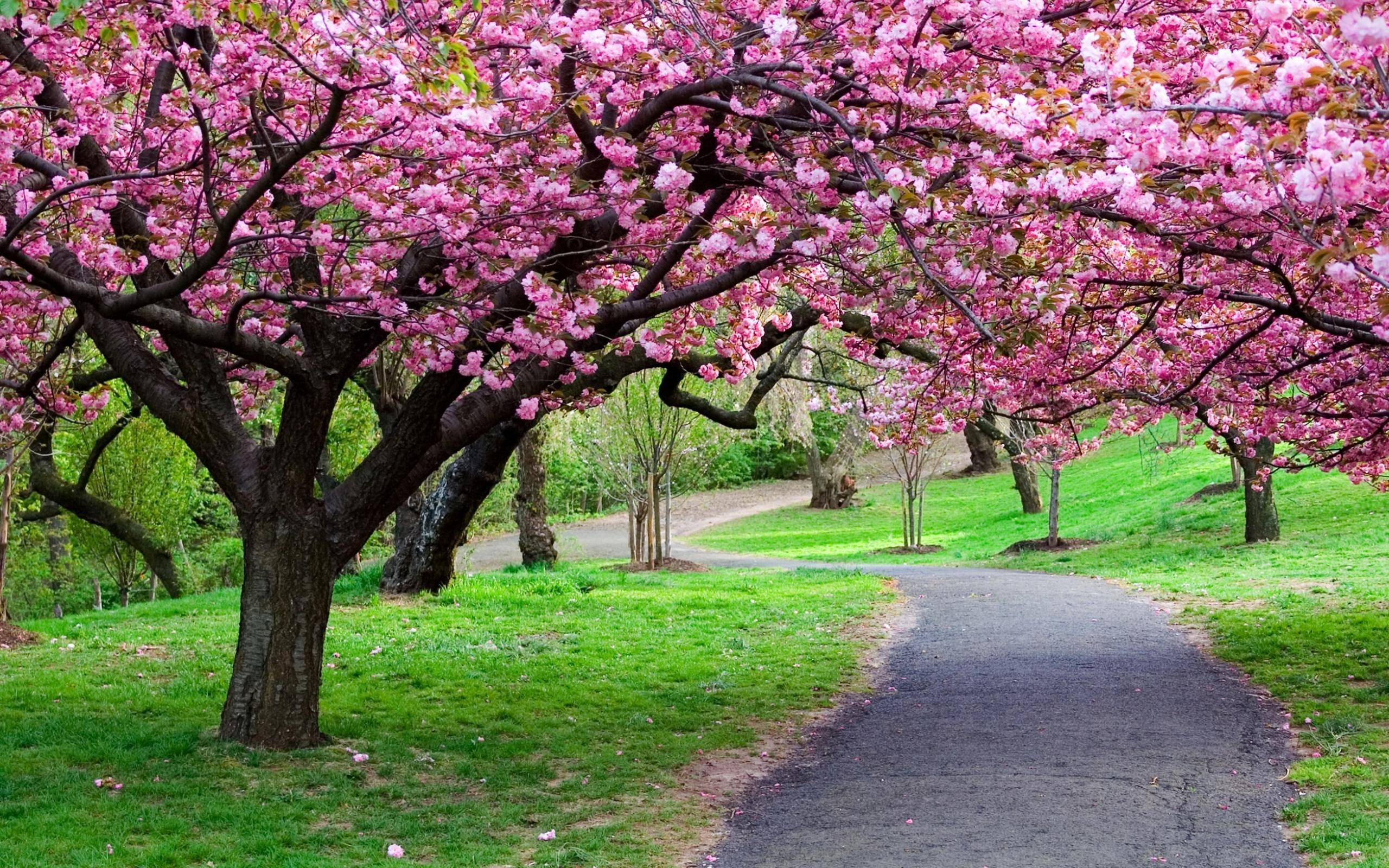 Cherry Blossom Tree wallpaper - 1106819