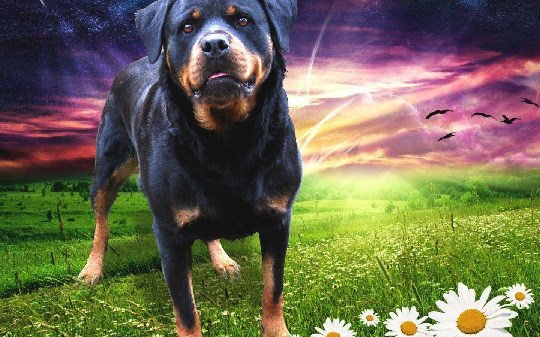 Rottweiler 58344 - Dog Wallpaper