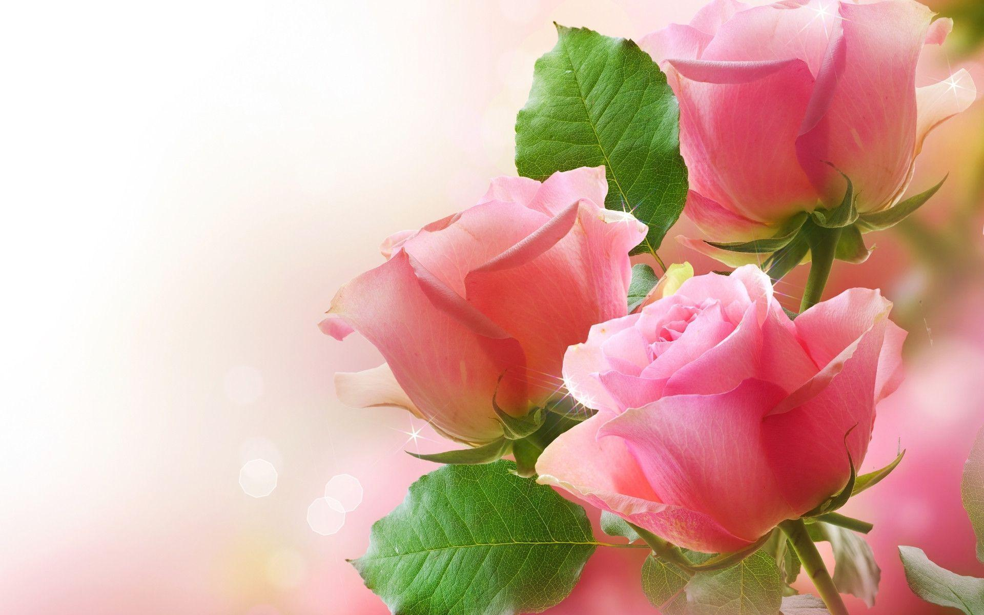 Wallpapers Flower Rose Love