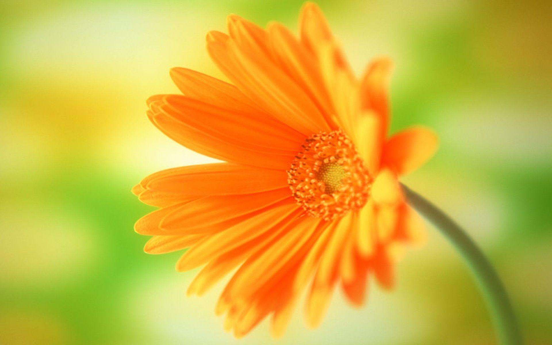 Single Flower Images & Pictures - Becuo