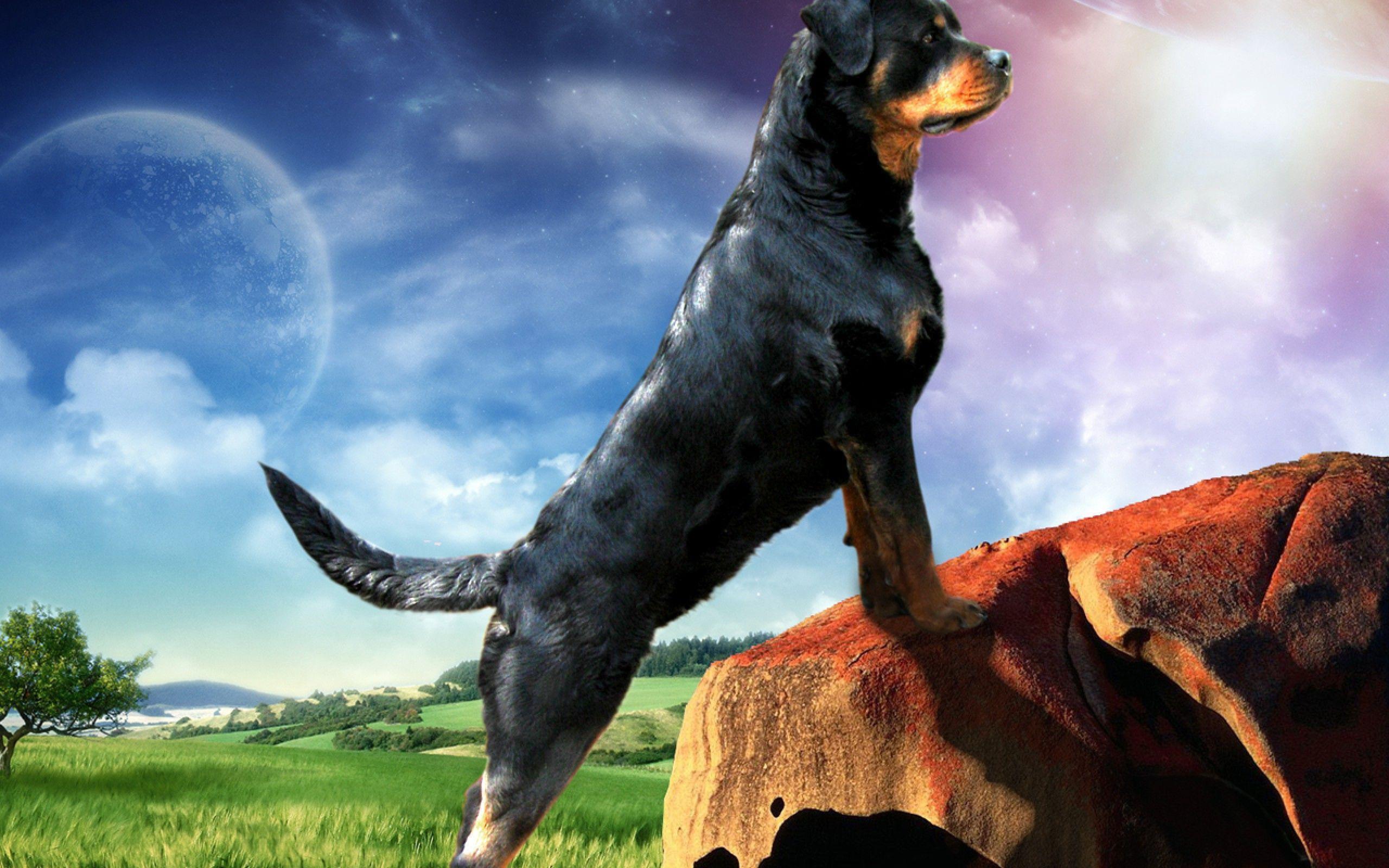 Rottweiler Ellie Guard 39871 - Dog Wallpaper