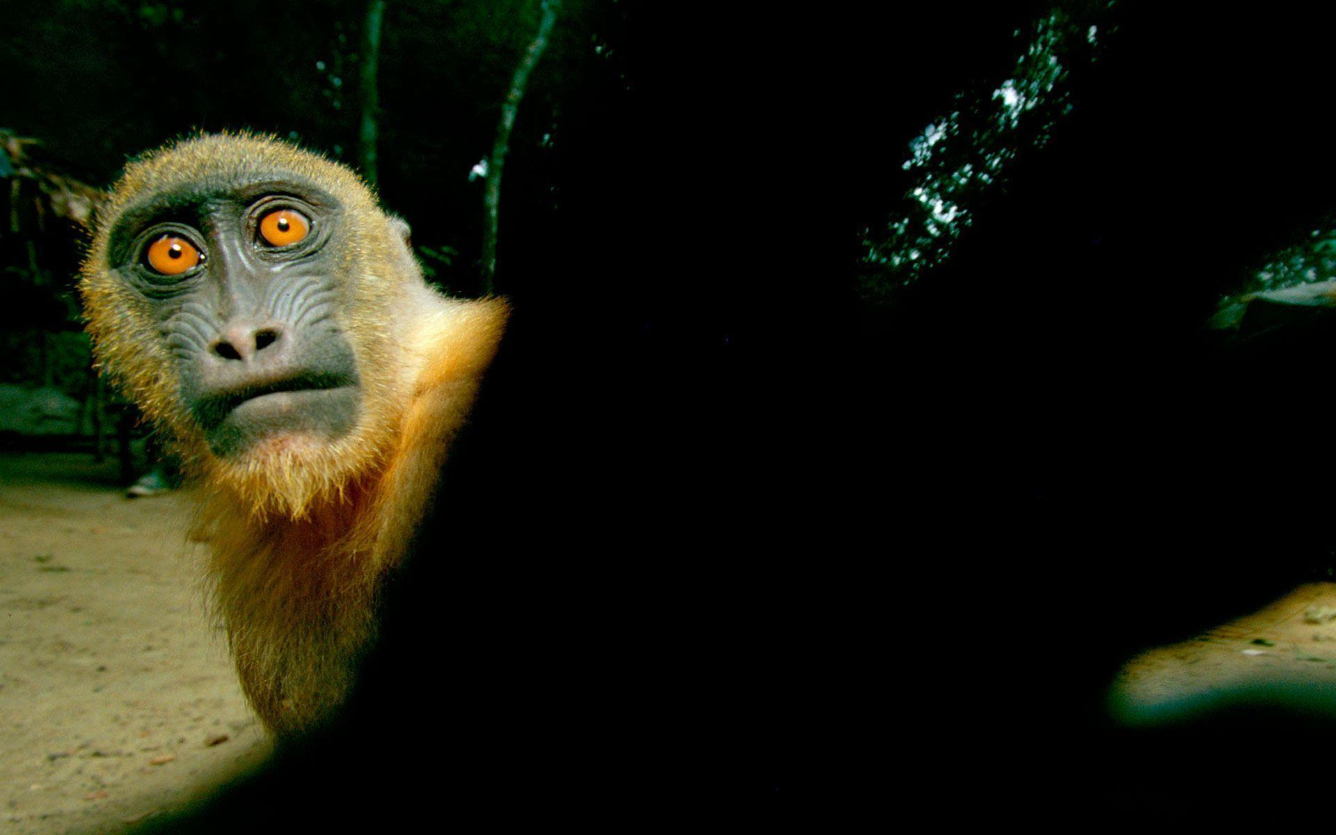 funny monkey wallpaper - photo #29