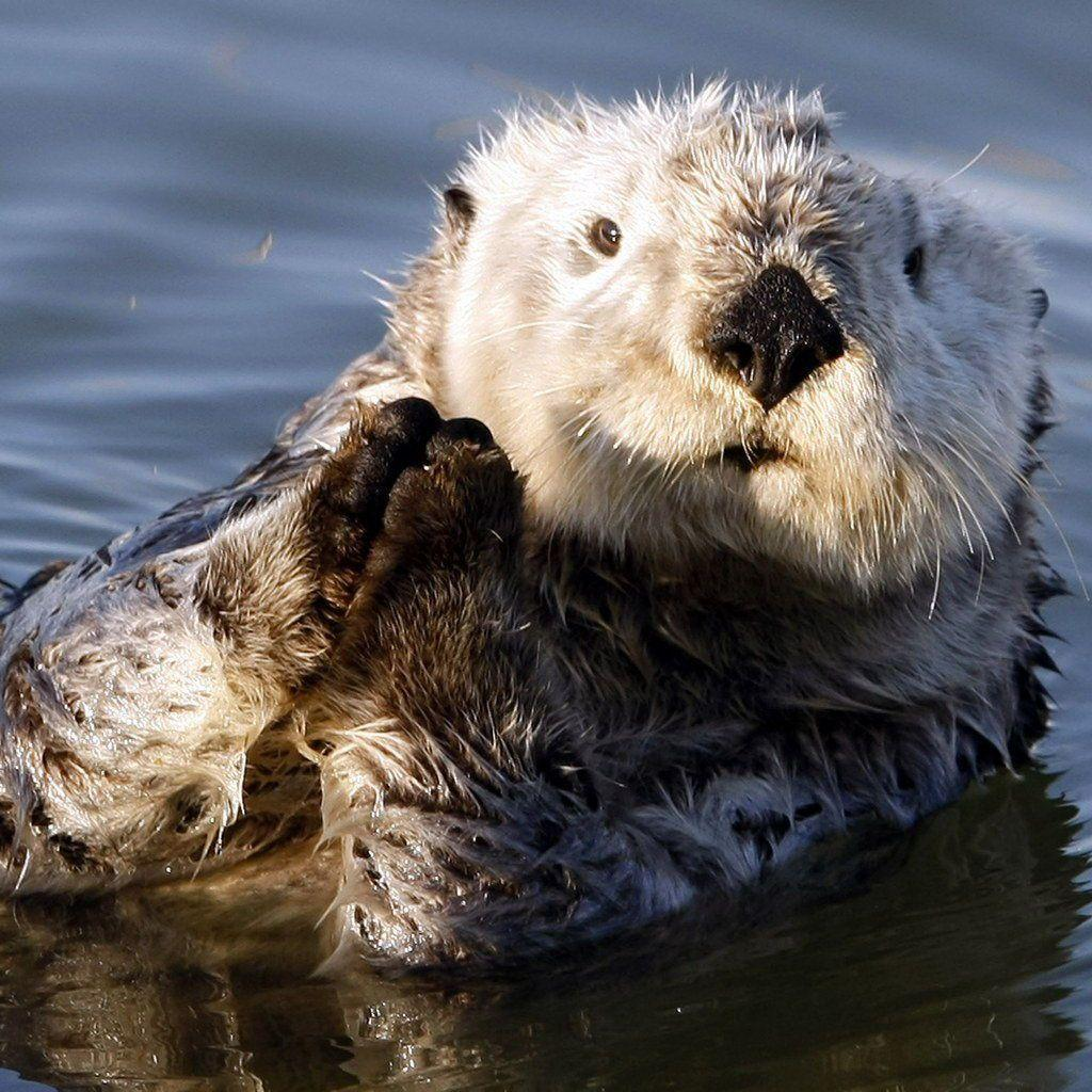 Pix For > Sea Otters Wallpaper