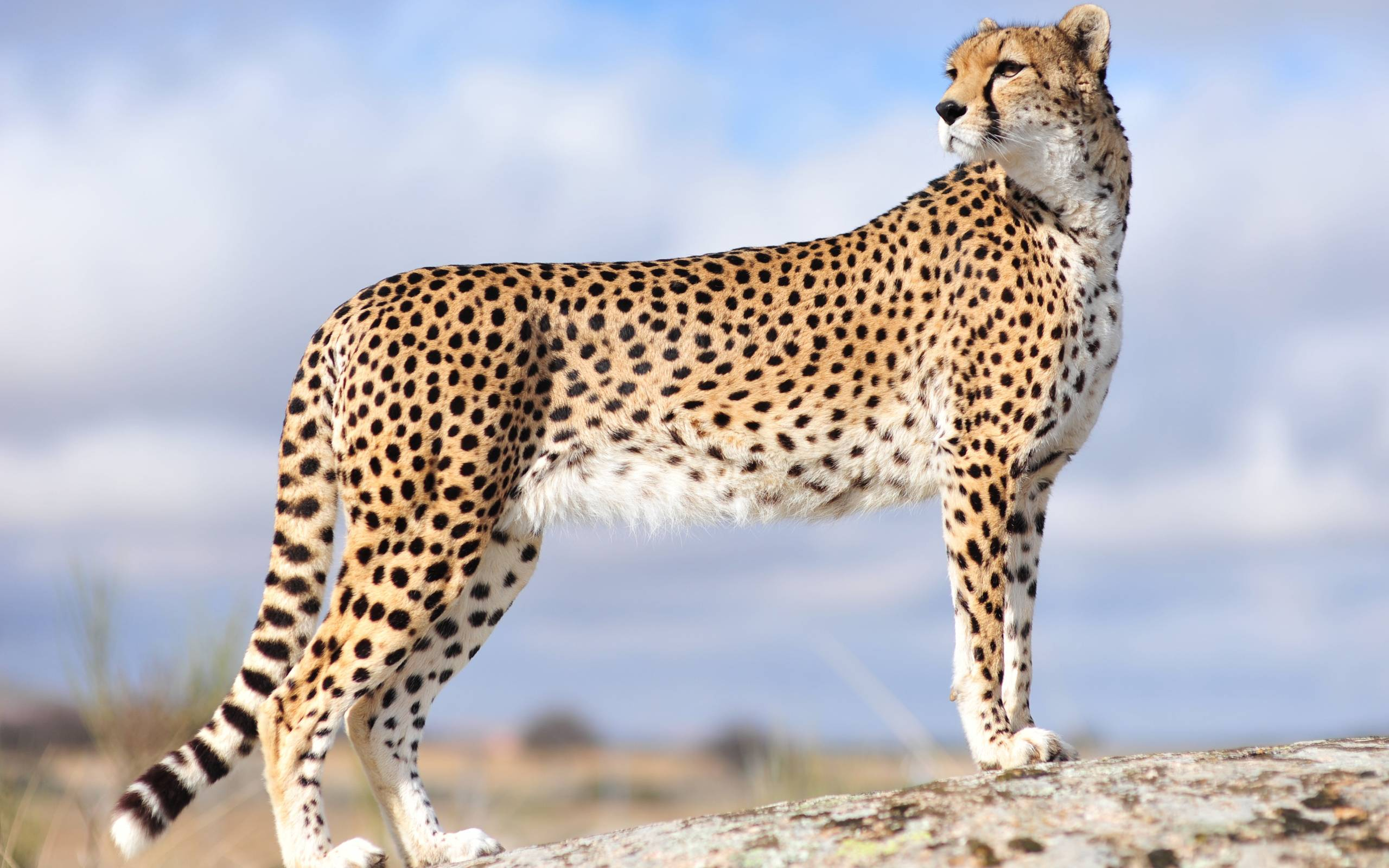 Download Cheetah HD wallpaper for download