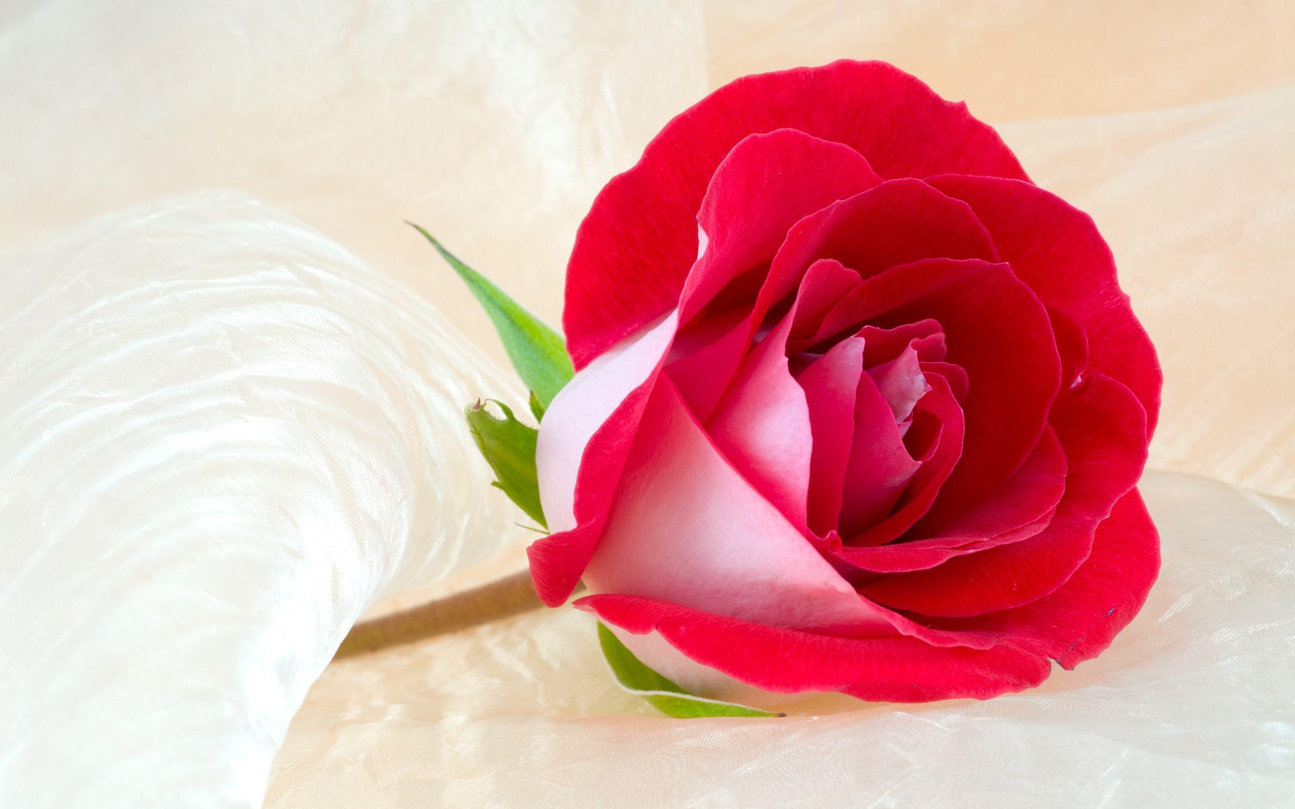 Rose Wallpaper Free Download | Wide Wallpapers