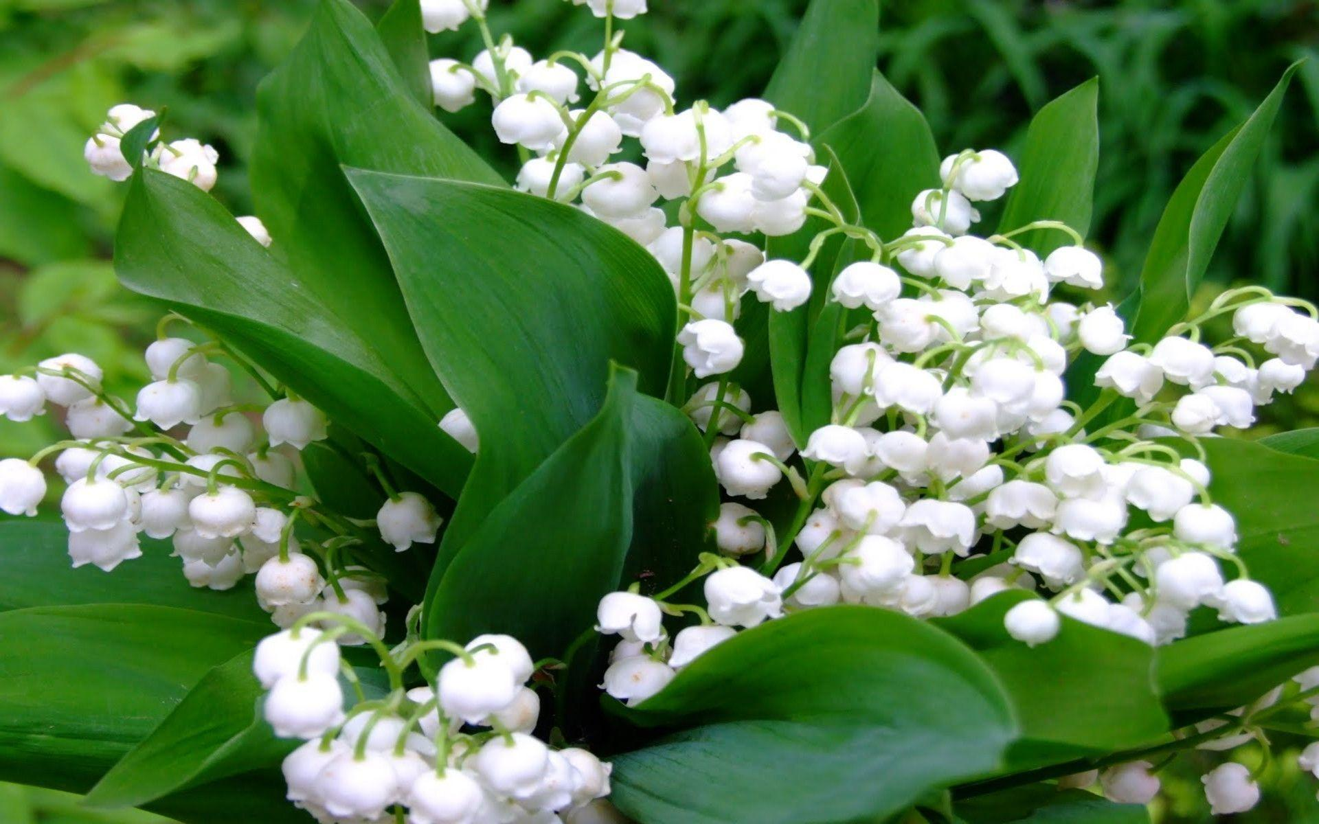 Lily Of The Valley Wallpapers Wallpaper Cave