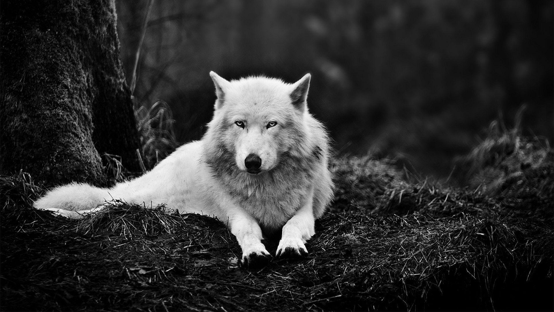 Download Wolf Wallpaper 11957 1920x1080 px High Resolution ...