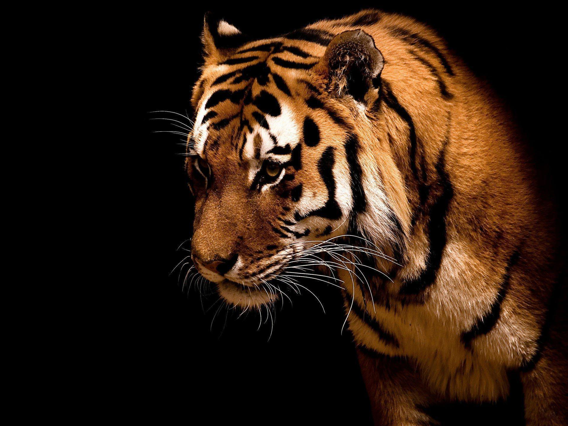 Desktop Windows 7 Tiger Big cat hd Wallpapers