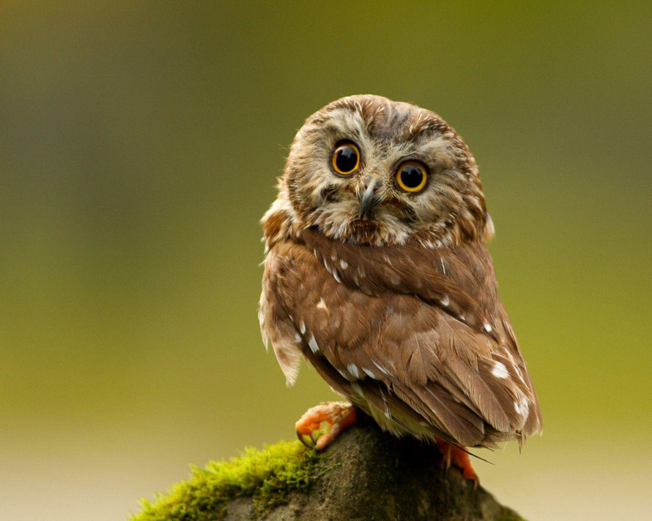 Keywords Owl Owls Bird Birds Hoot Animal Animals Wallpapers ...