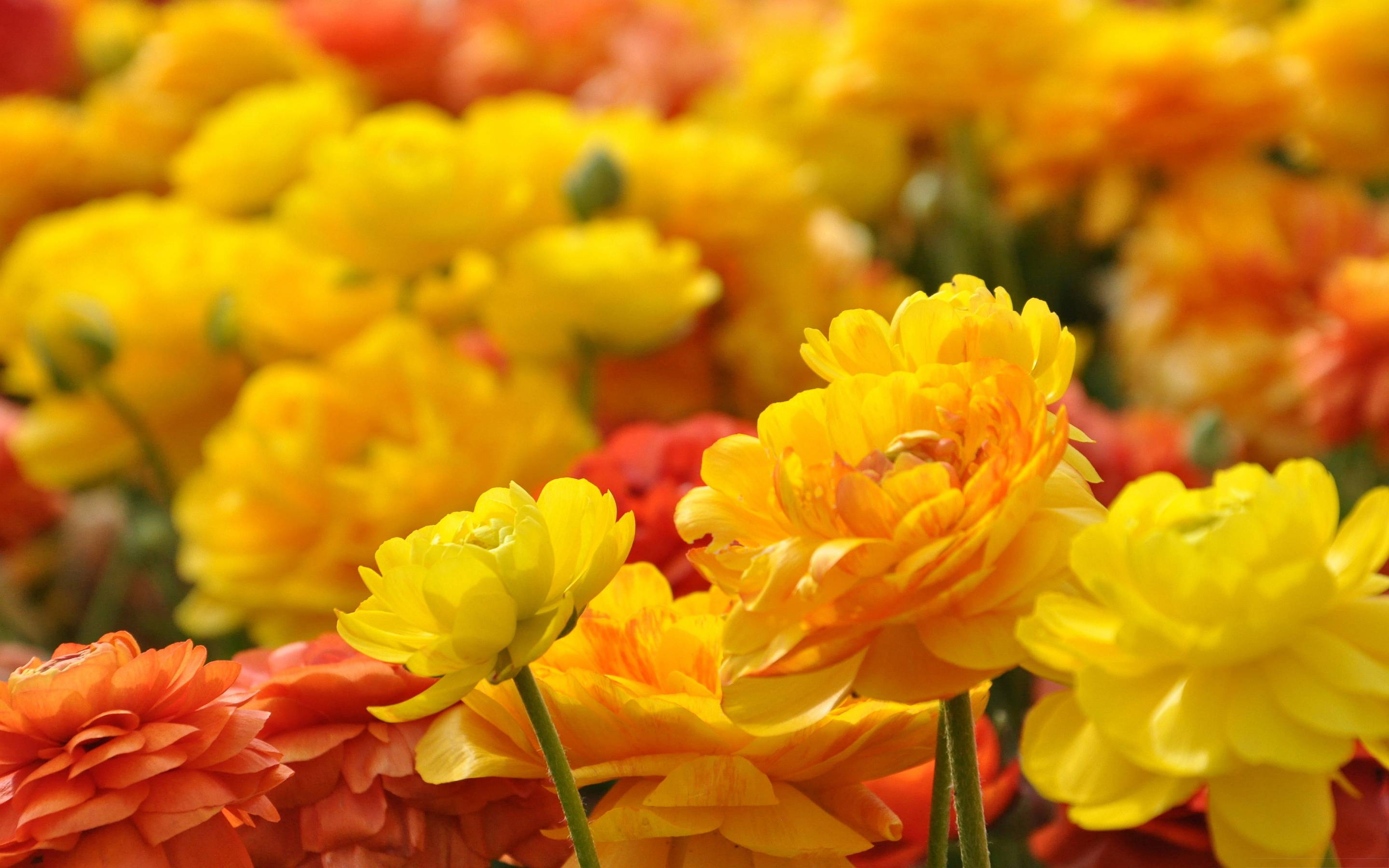 Download Free Flowers Photos: Full HD Flowers Wallpapers