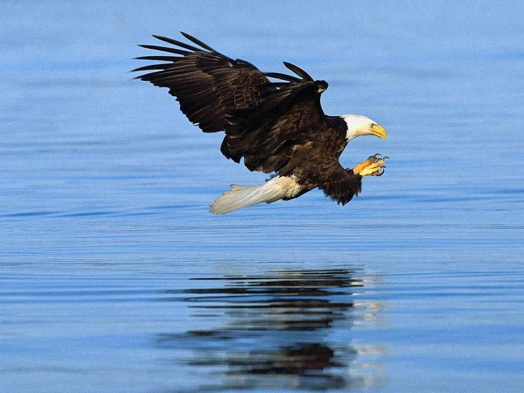Free Bald Eagle 34 Landscape Wallpapers Download Backgrounds Picture
