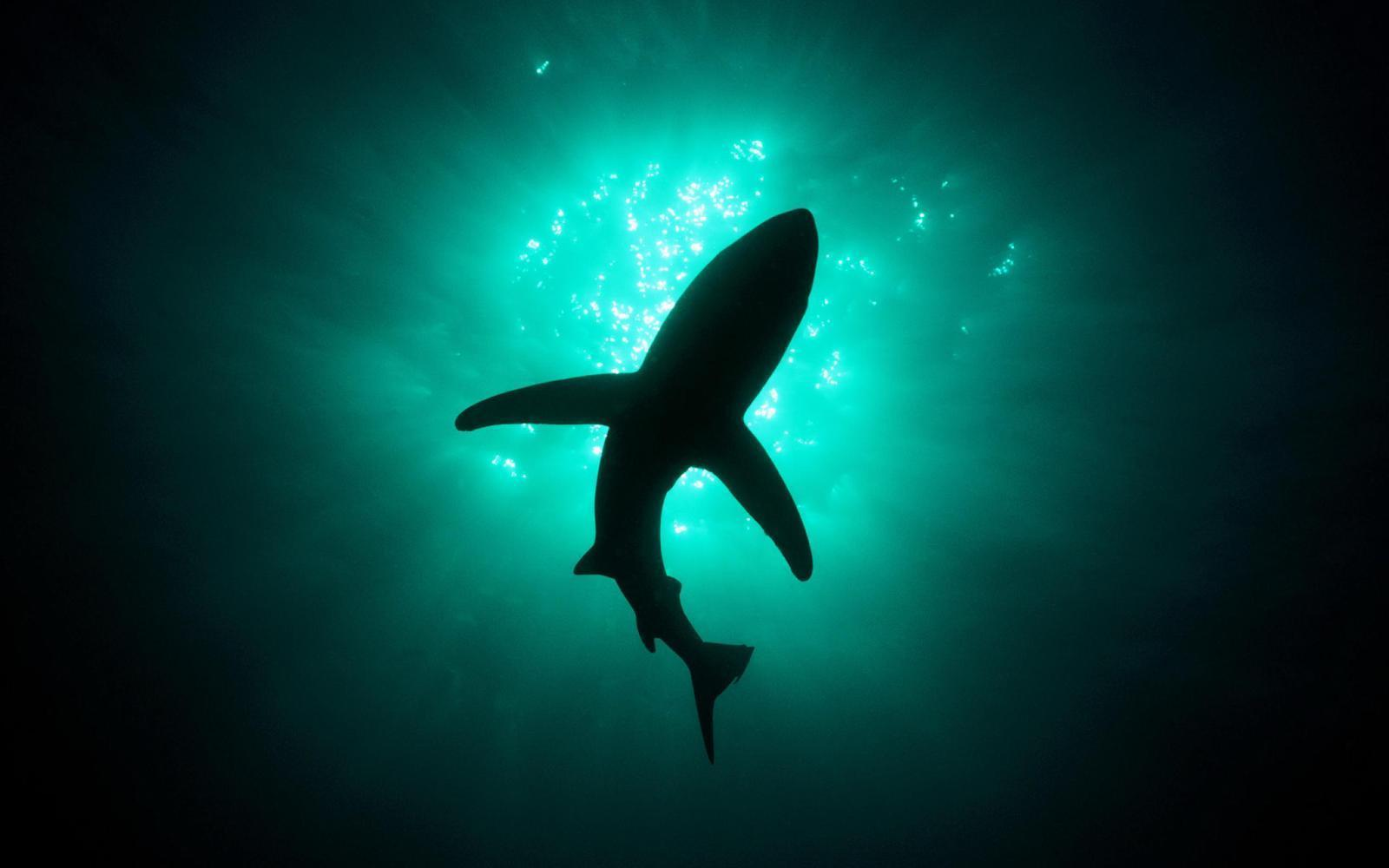 Great white shark wallpapers hd wallpaper cave silhouette of great white shark in the deep sea hd wallpaper hd voltagebd Images