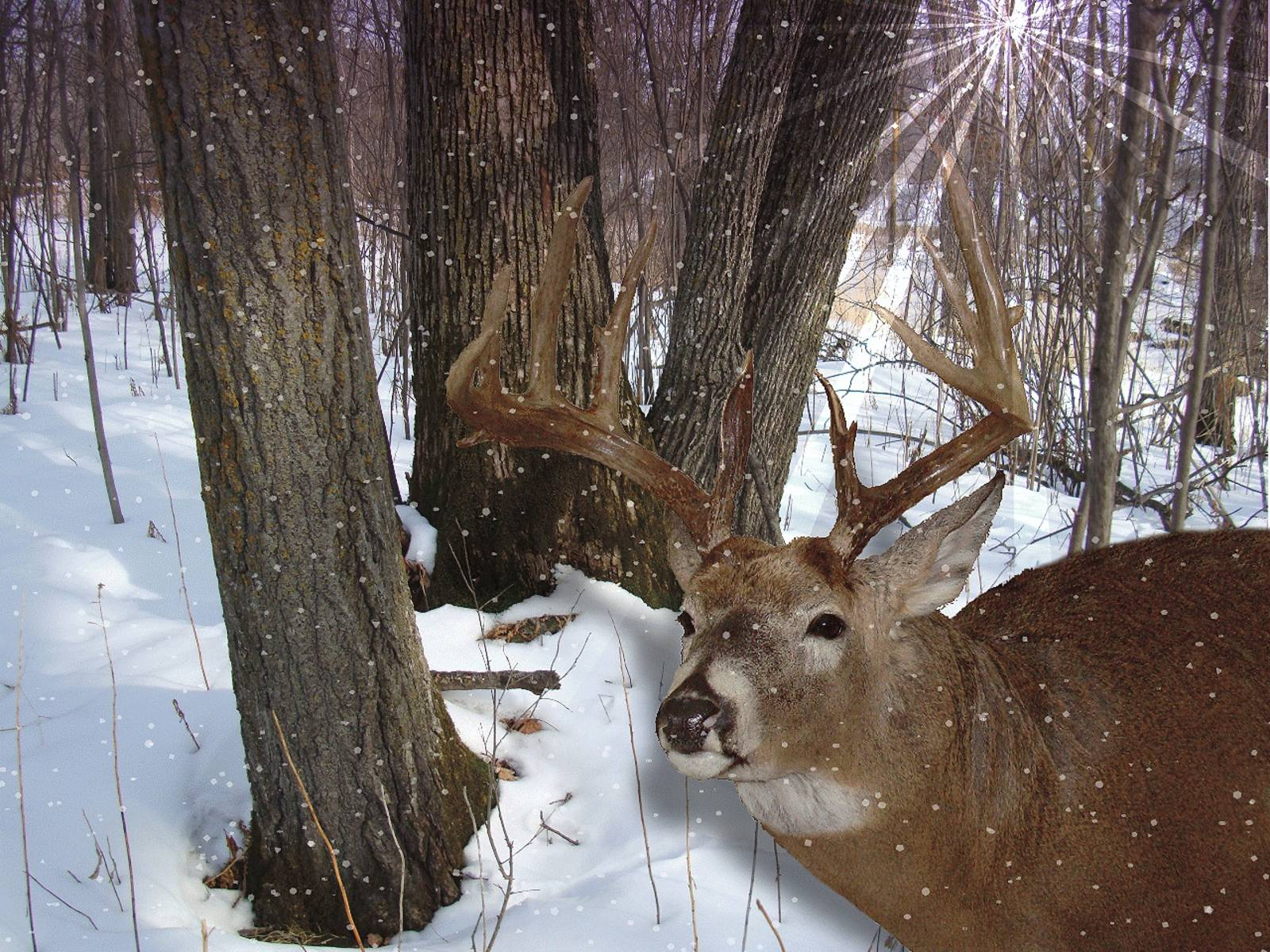 Free Whitetail Deer Wallpapers - Wallpaper Cave