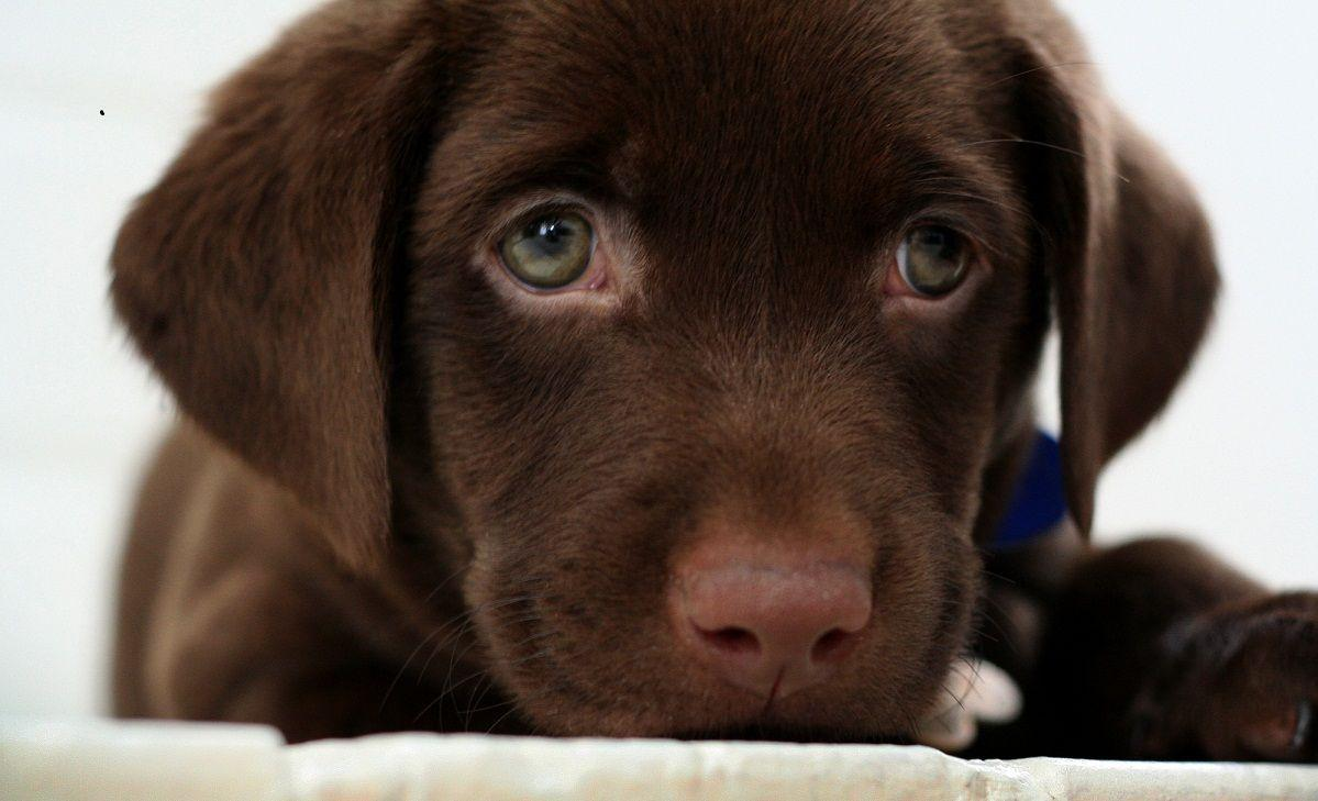Chocolate Lab Wallpapers Wallpaper Cave