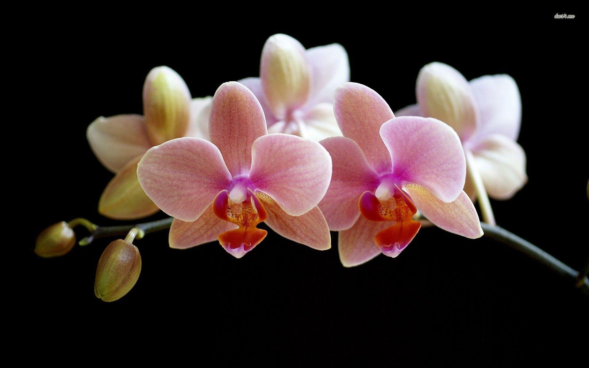 orchid wallpapers backgrounds images - photo #13