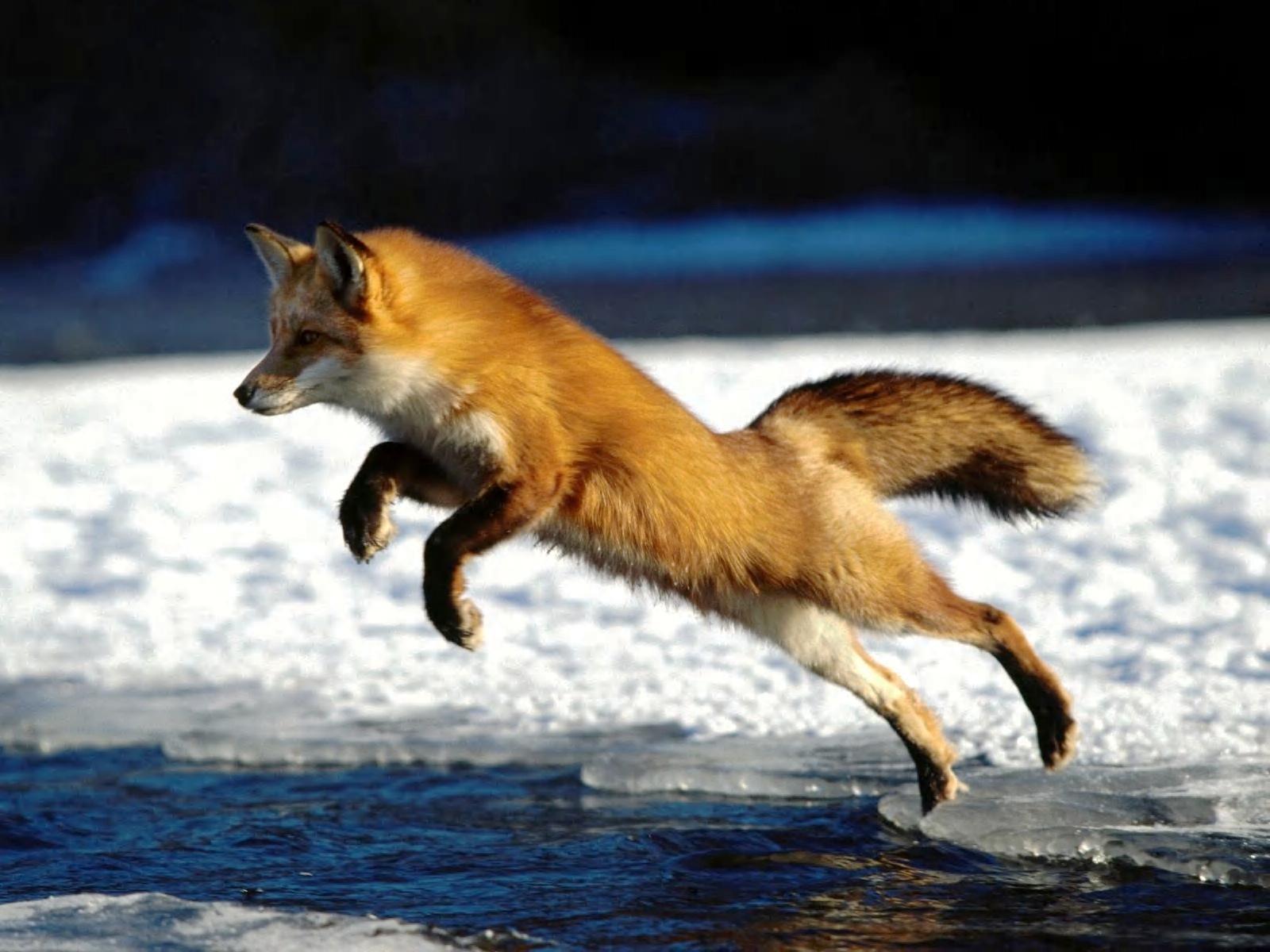 Red Fox - Red Foxes Wallpaper (13290134) - Fanpop