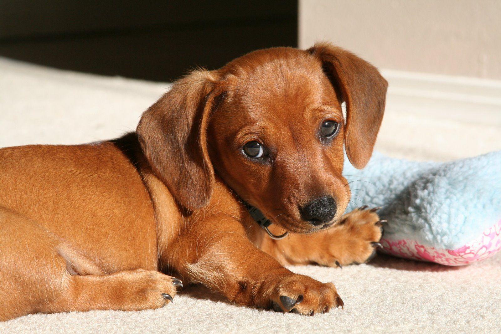 Wiener Dogs Puppies