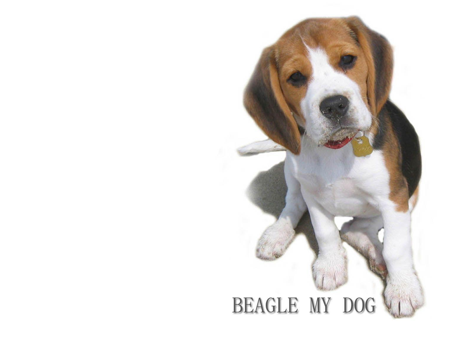 dog beagle guilty wallpapers - photo #4