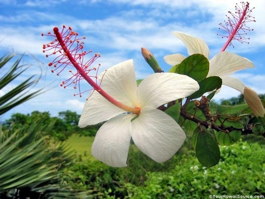 Hawaiian Flowers Wallpapers  Wallpaper Cave