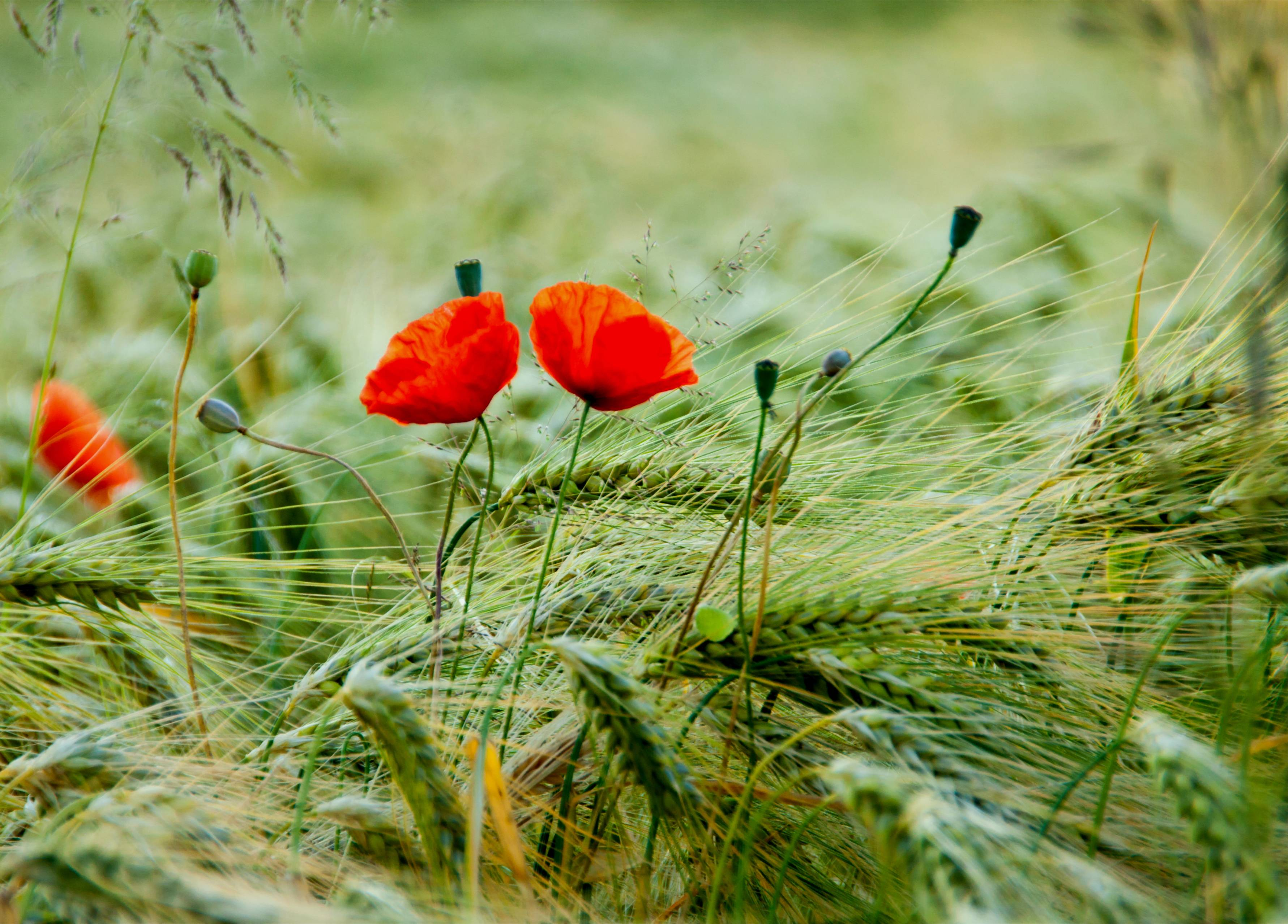 Poppy Wallpapers - Wallpaper Cave