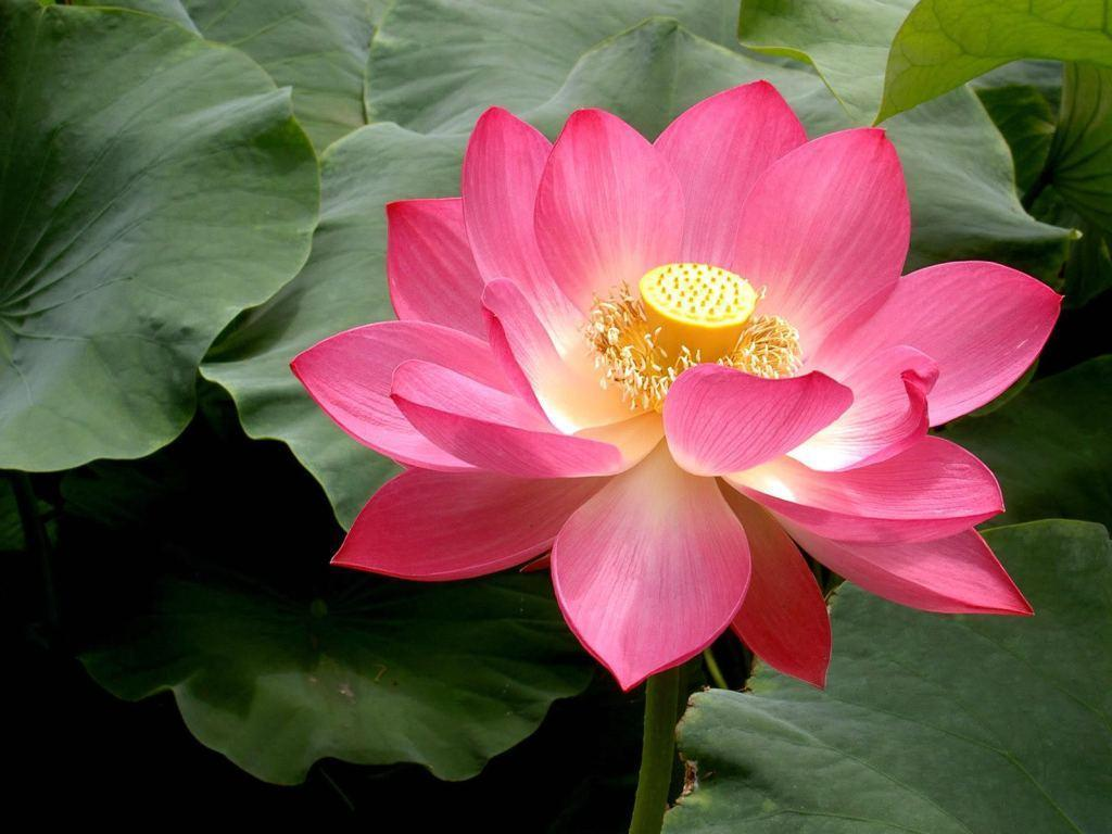 Lotus Flower Pictures Wallpapers