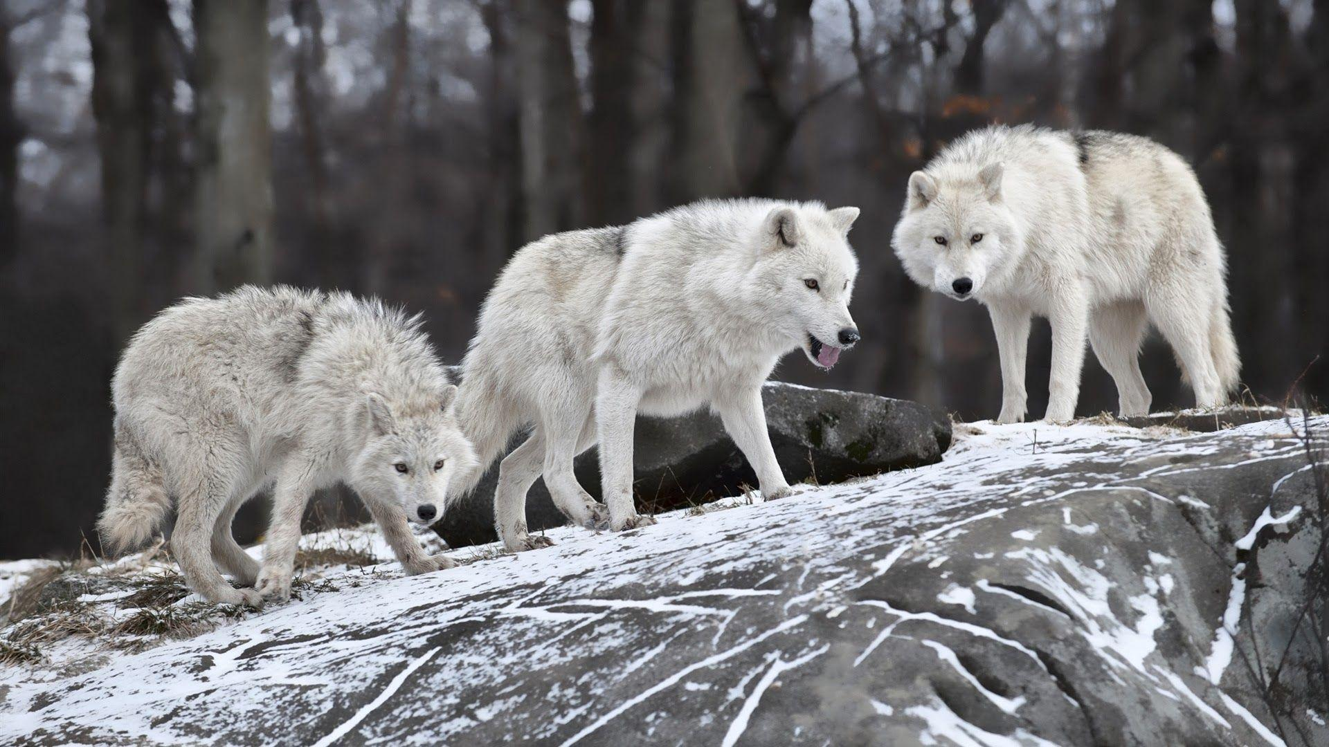 Wolf Pack Wallpapers - Wallpaper Cave - photo#12