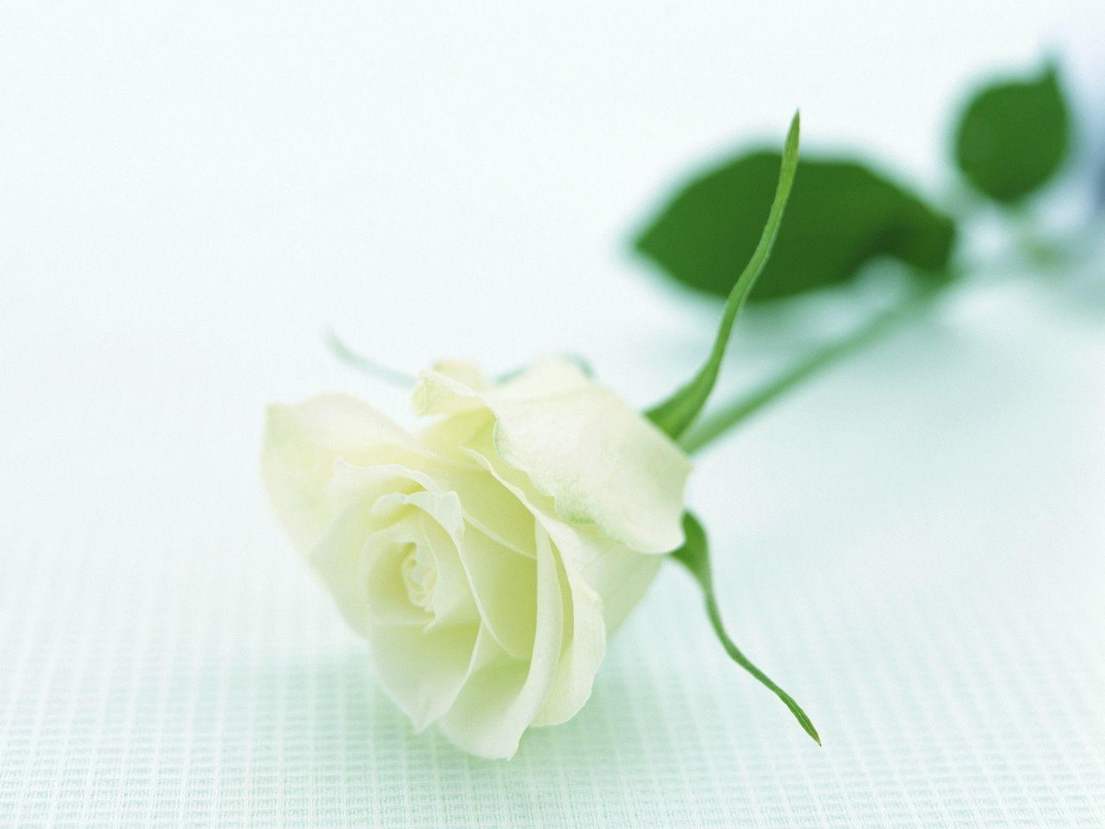Image For > White Rose Backgrounds